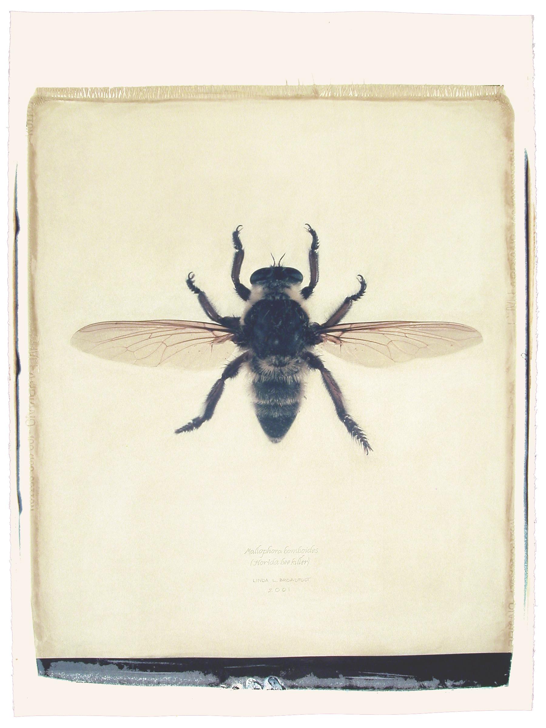 Mallophora bomboides  (Florida Bee Killer), 2001