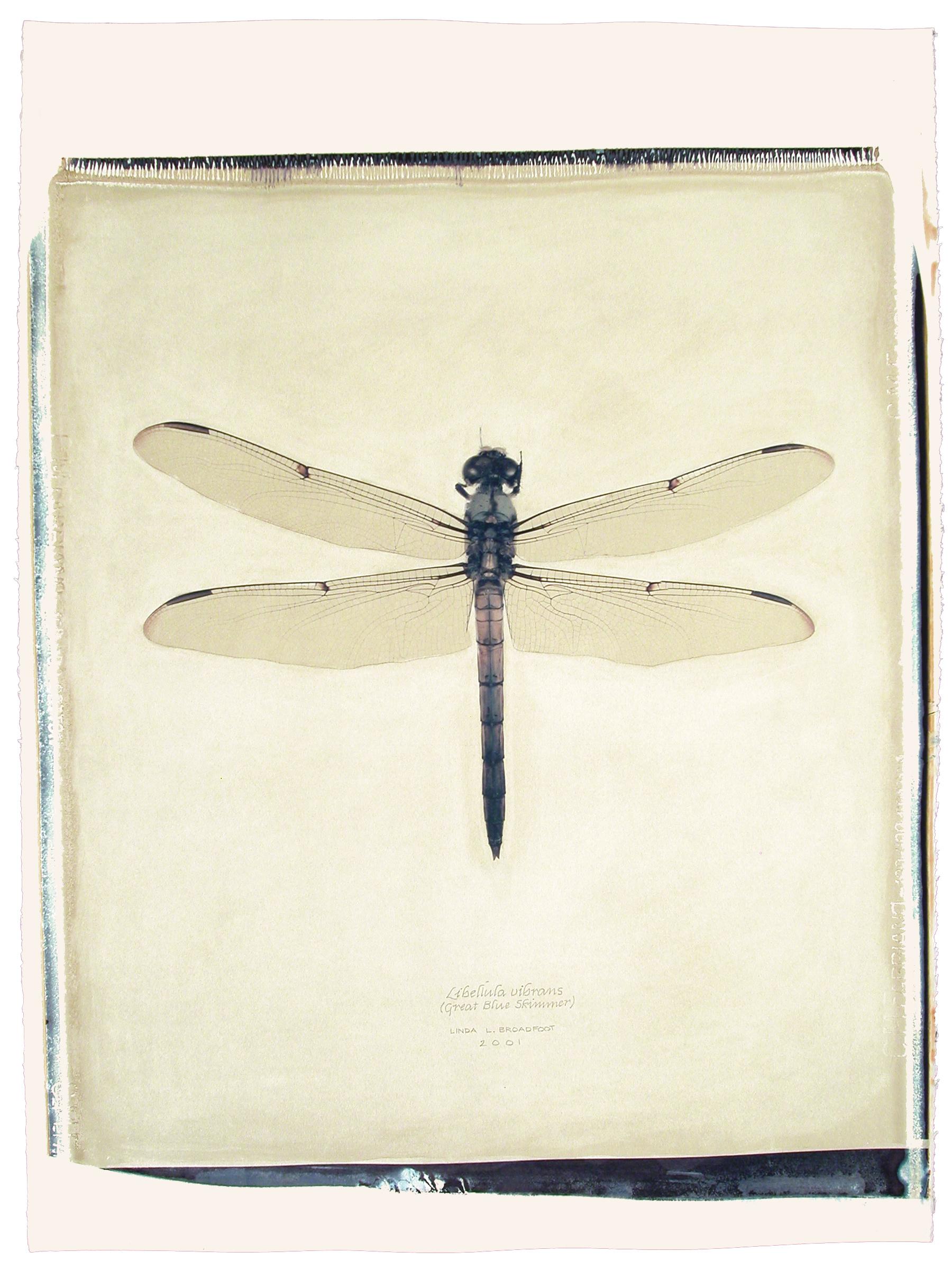 Libellula vibrans  (Great Blue Skimmer), 2001