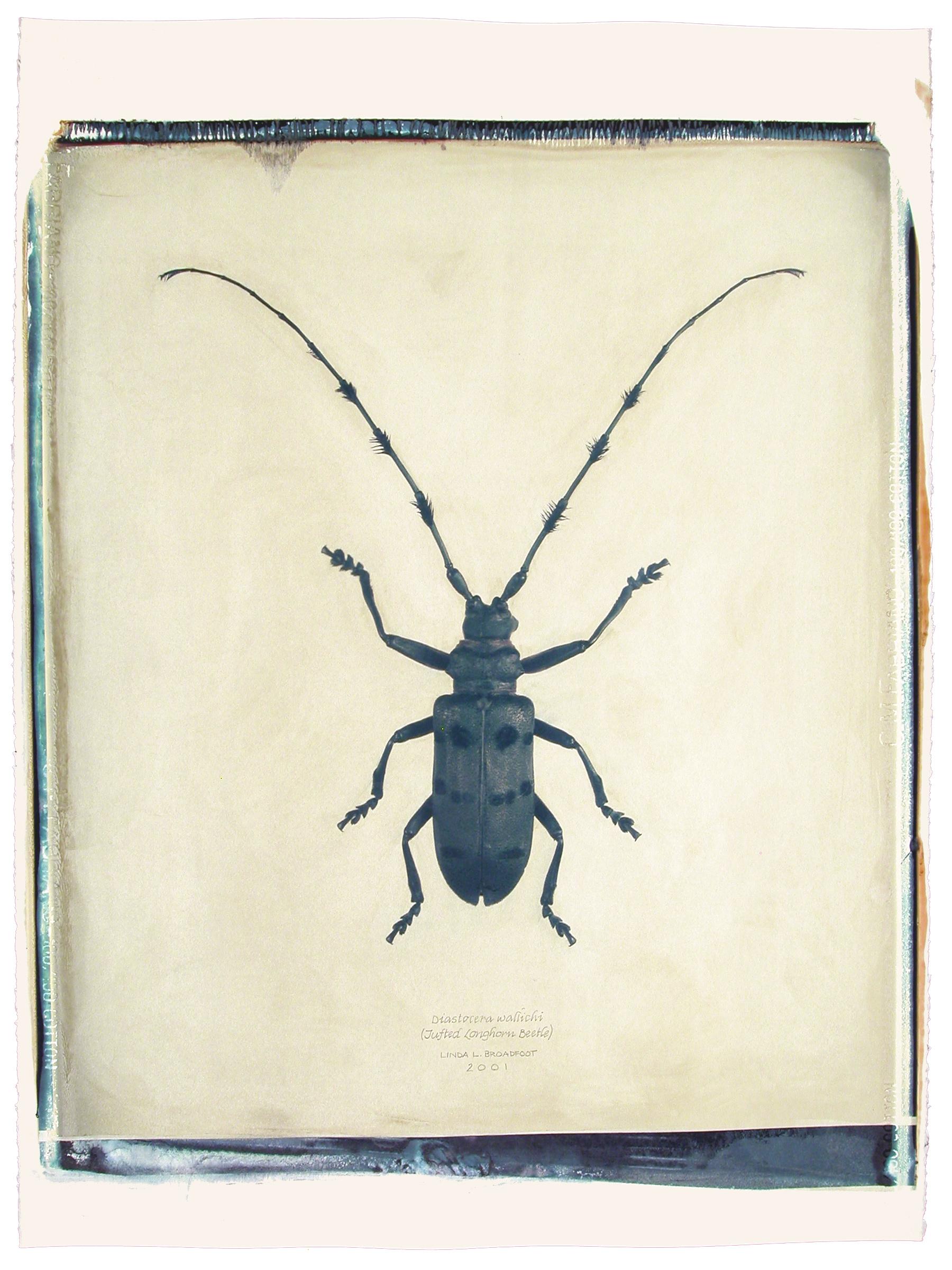 Diastocera wallichi  (Tufted Longhorn Beetle), 2001