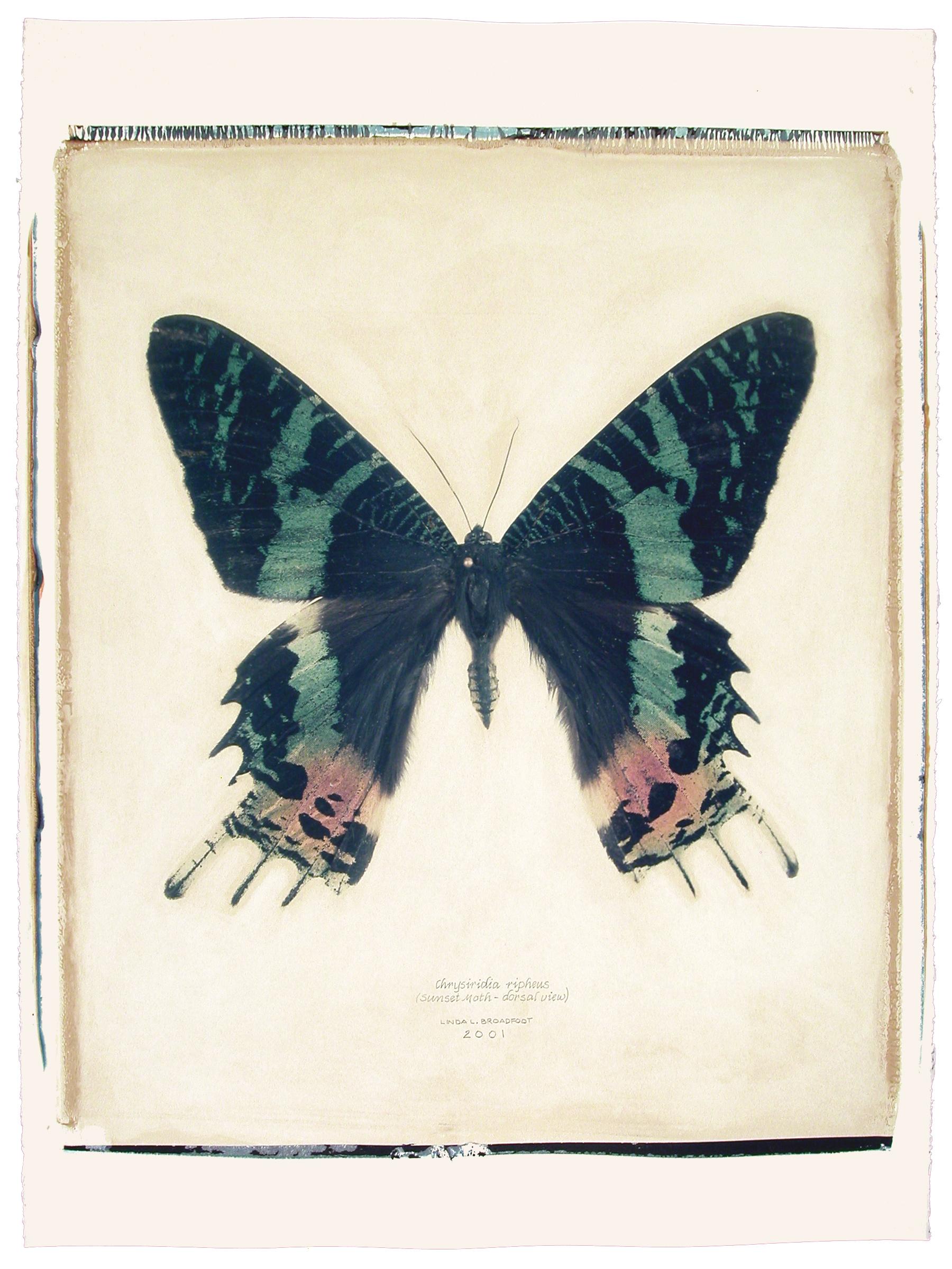 Chrysiridia ripheus  (Sunset Moth), dorsal view, 2001