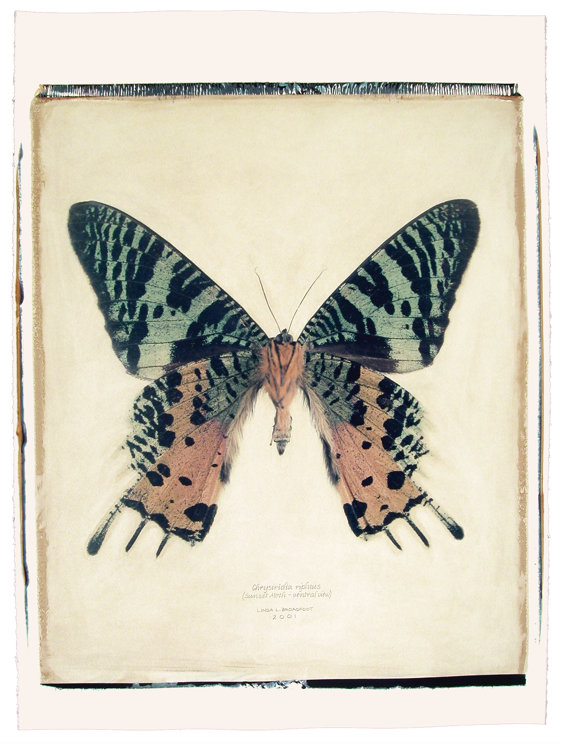 Chrysiridia ripheus  (Sunset Moth), ventral view, 2001