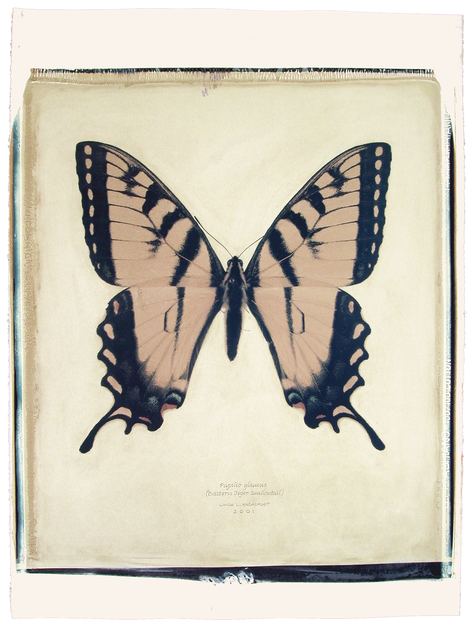 Papilio glaucus  (Eastern Tiger Swallowtail), 2001