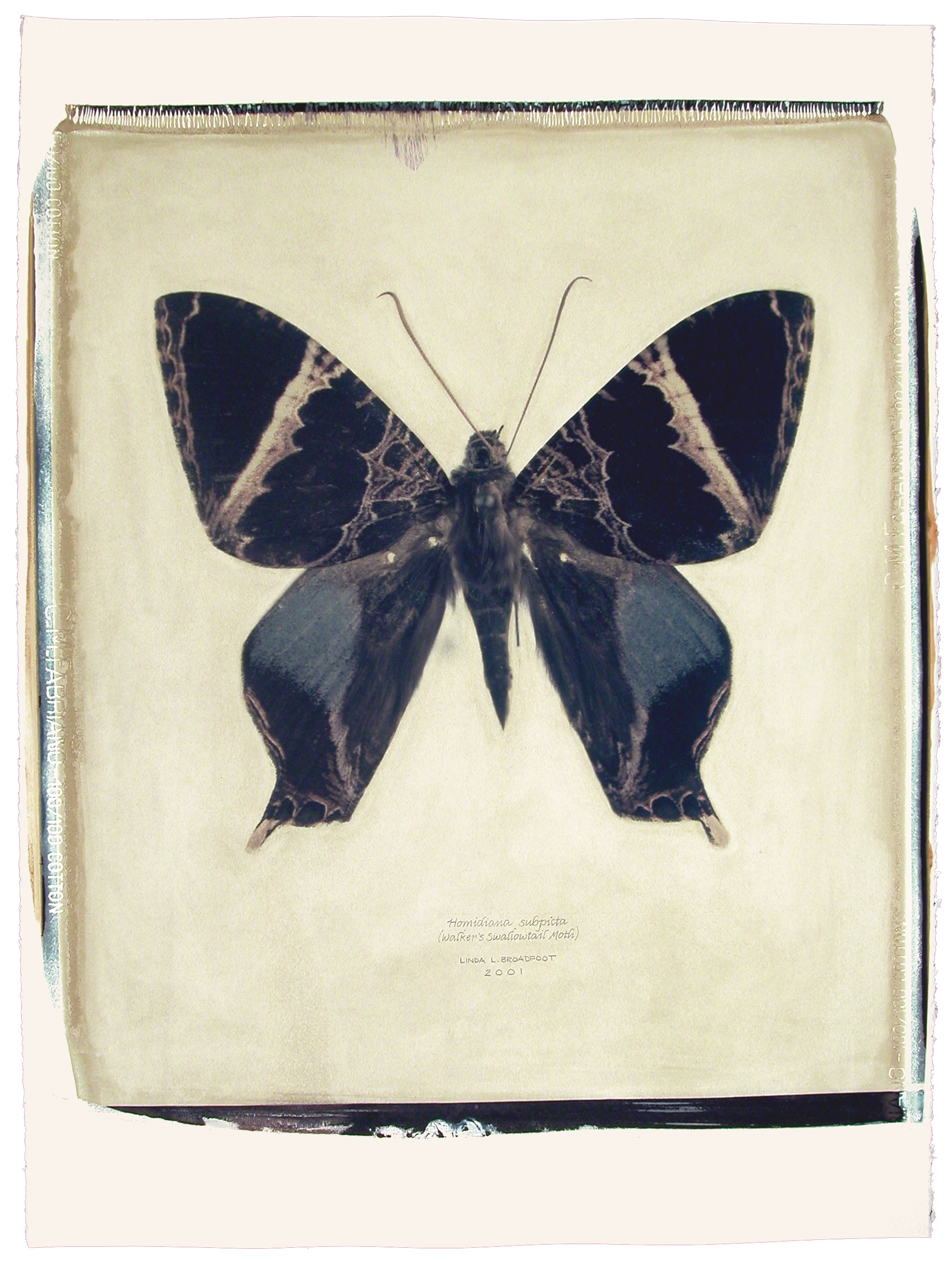 Homidiana subpicta  (Walker's Swallowtail Moth), 2001