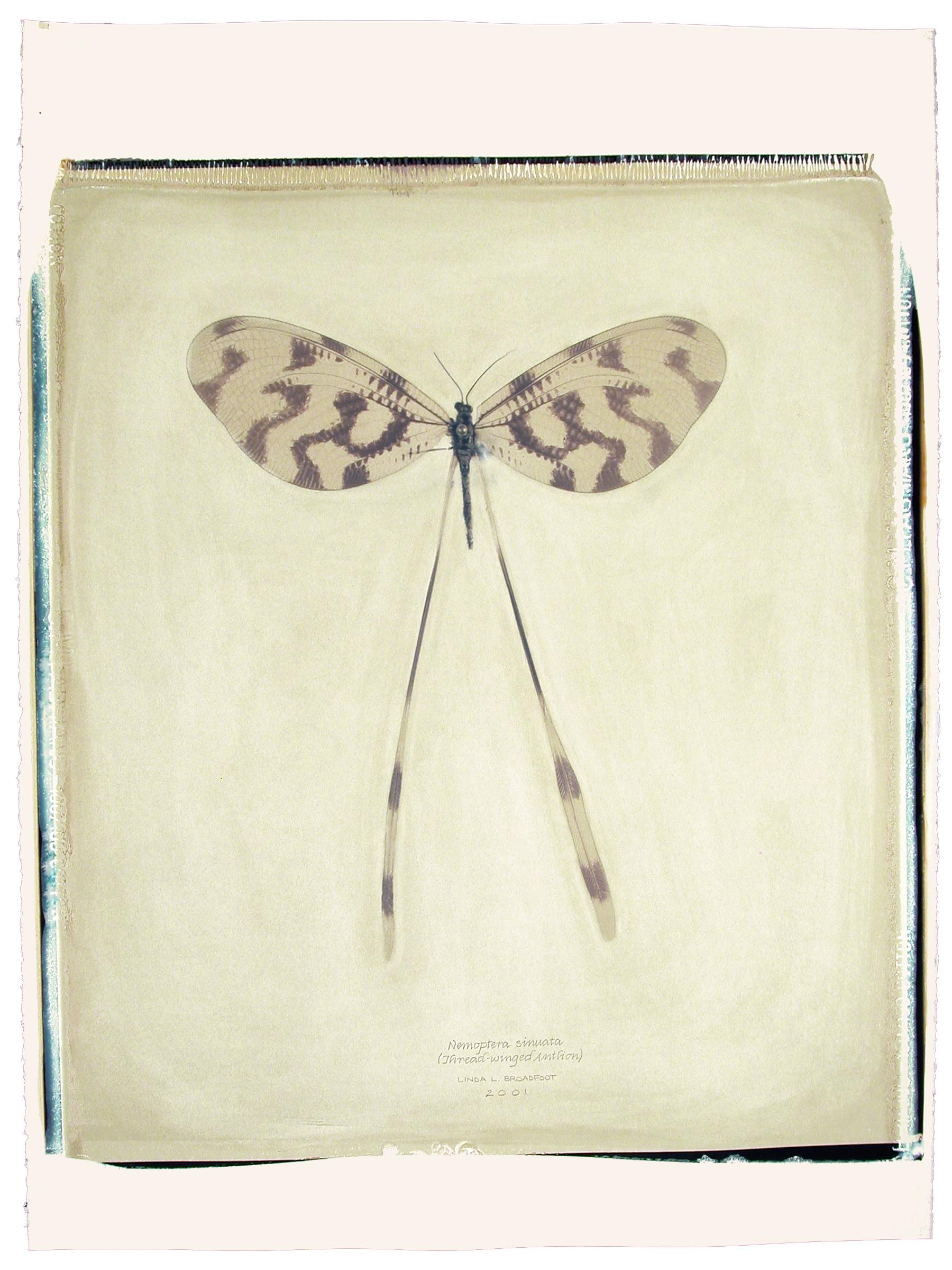Nemoptera sinuata  (Thread-winged Antlion), 2001