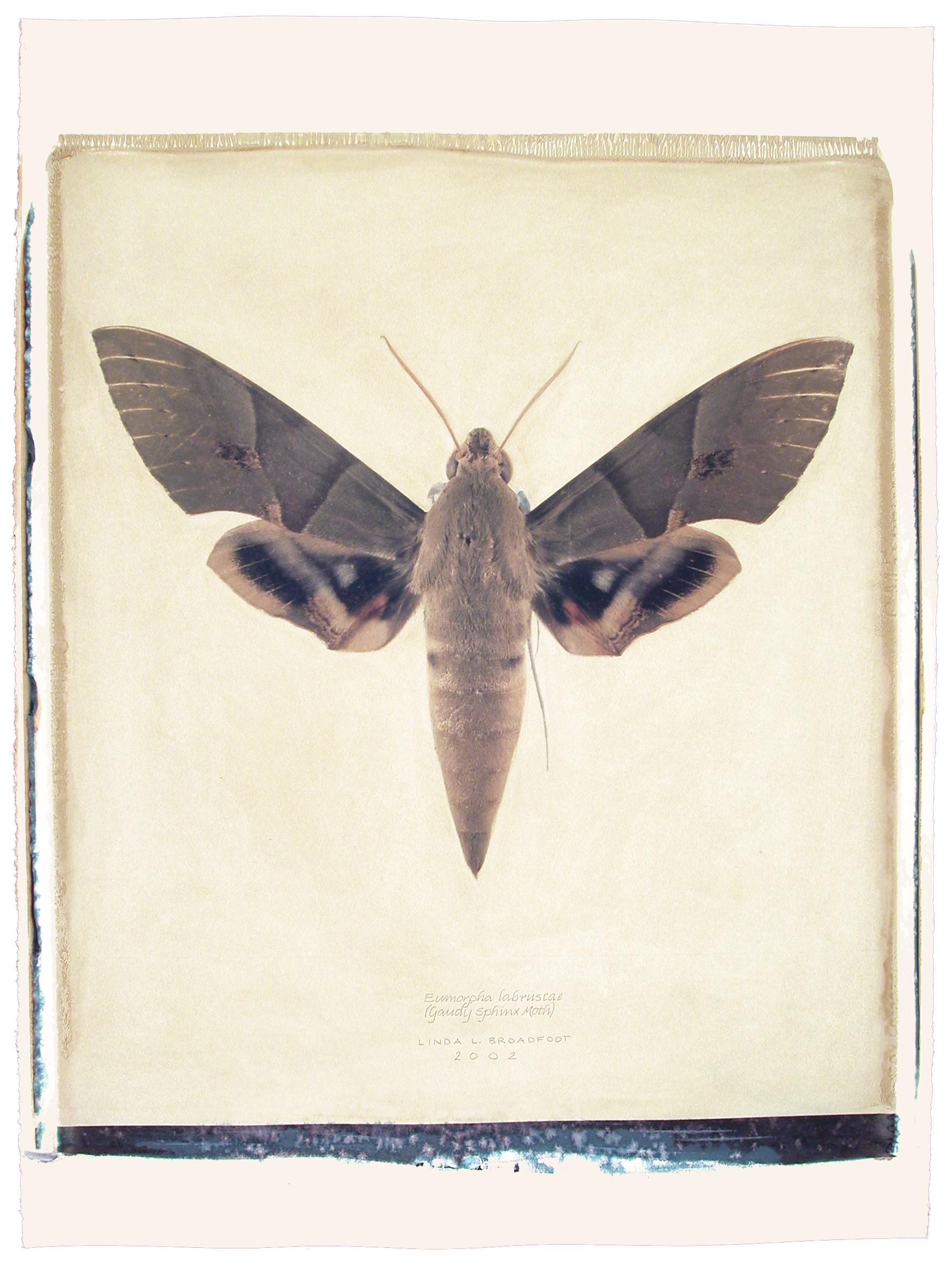 Eumorpha labruscae  (Gaudy Sphinx Moth), 2002