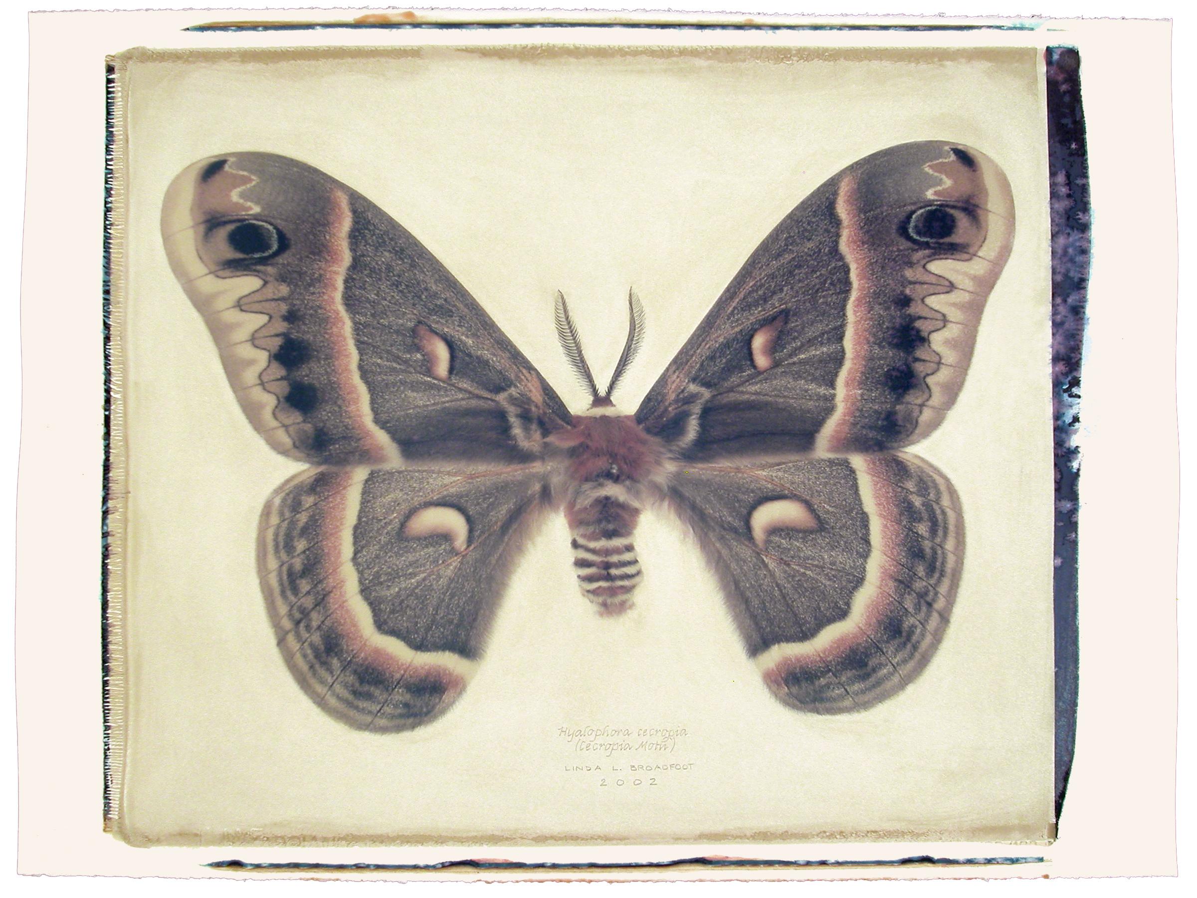 Hyalophora cecropia  (Cecropia Moth), 2002
