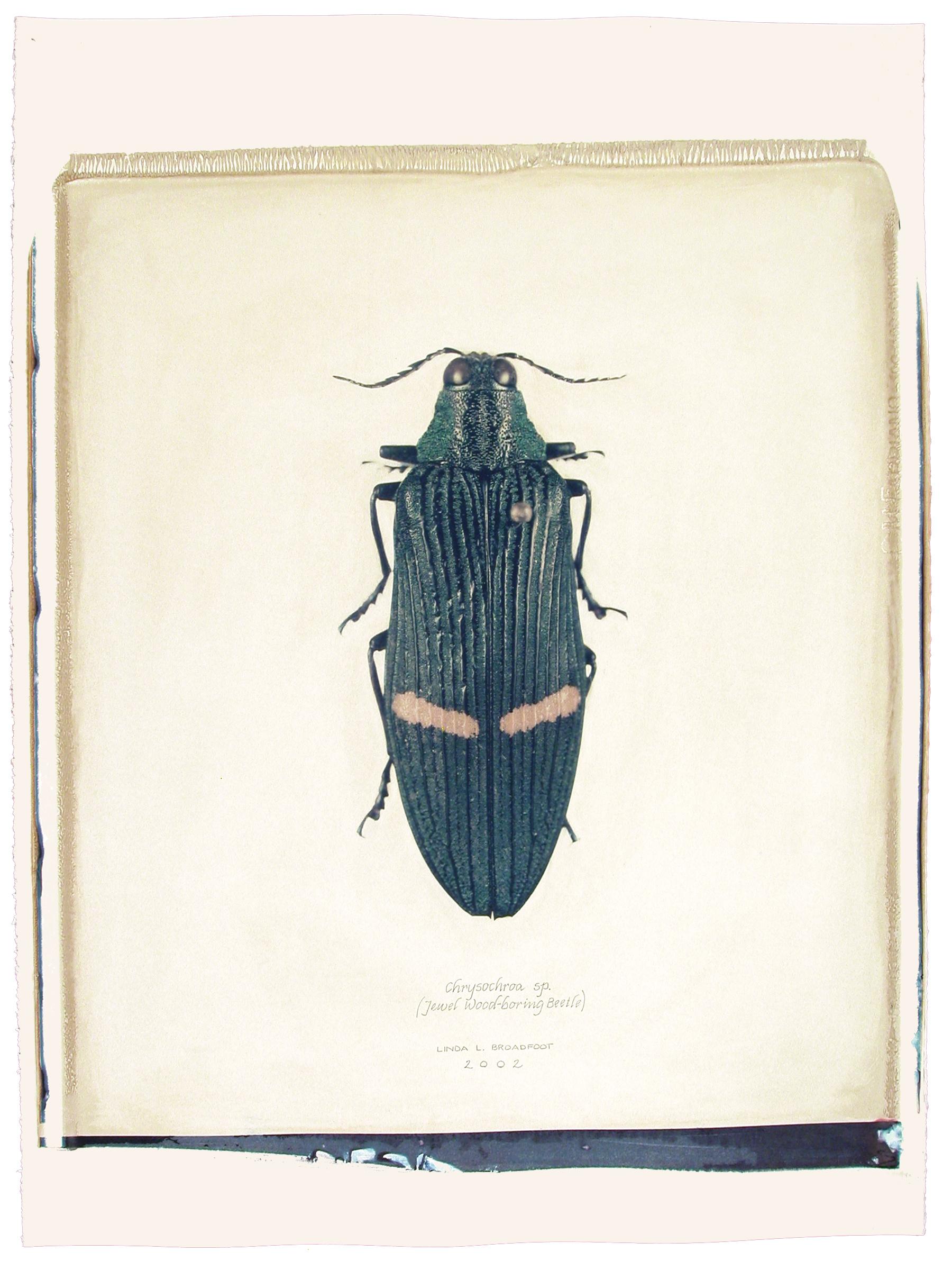 Chrysochroa sp.  (Jewel Wood-boring Beetle), 2002