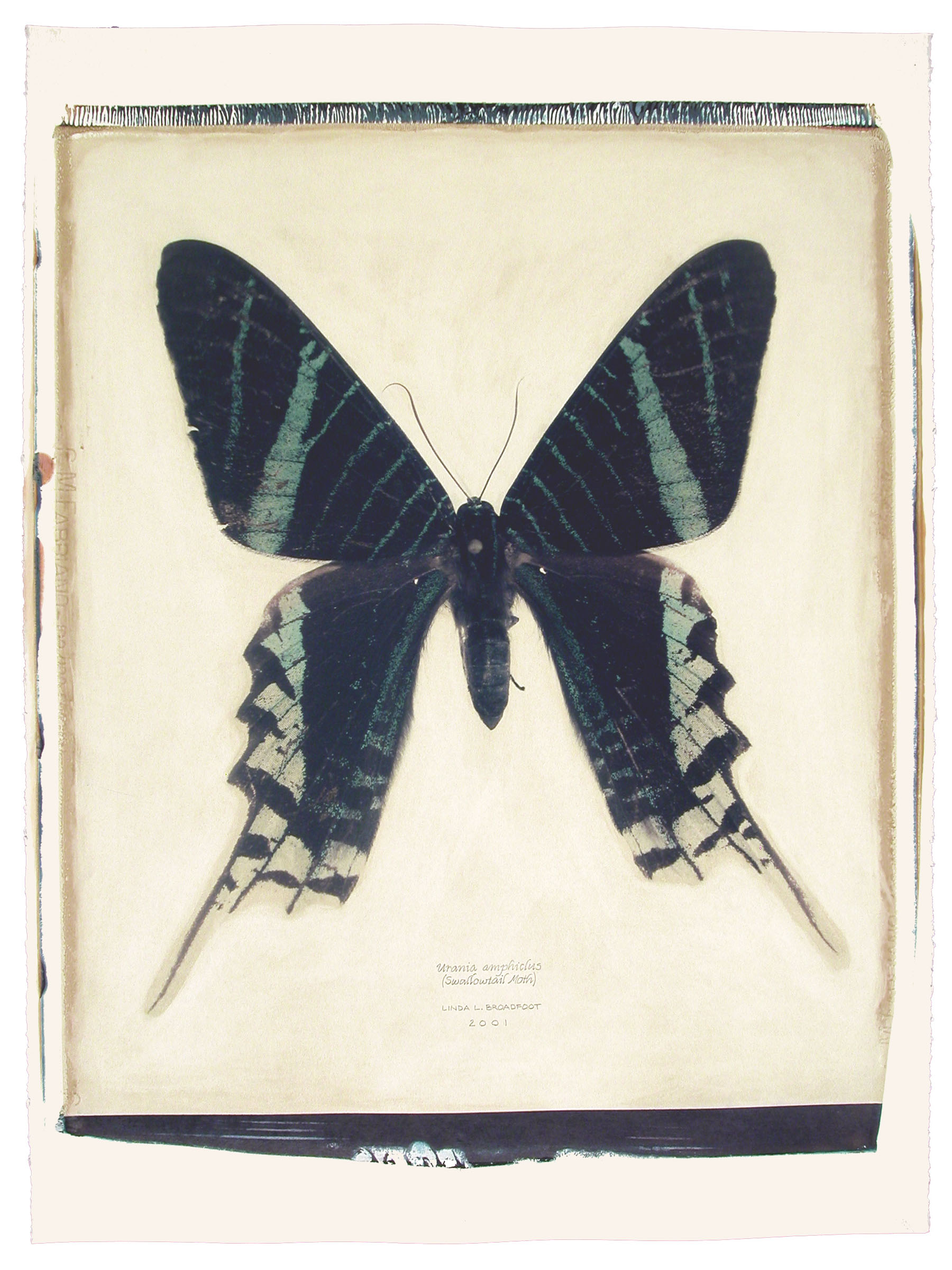 Urania amphiclus  (Swallowtail Moth), 2001