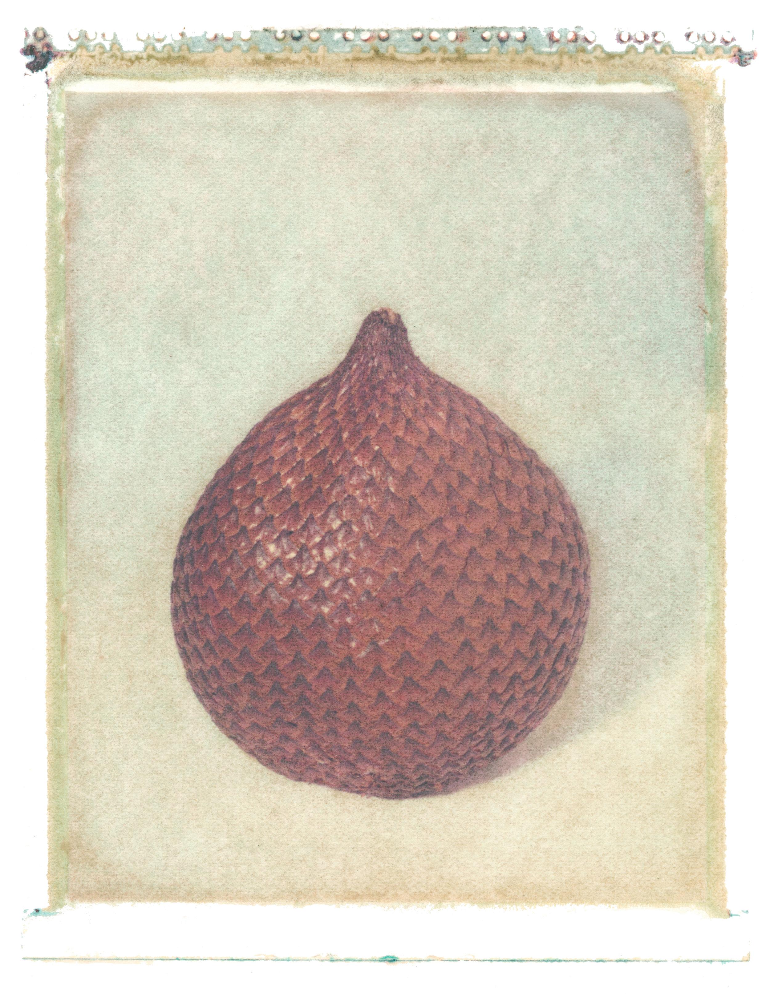 Salacca zalucca , 1997