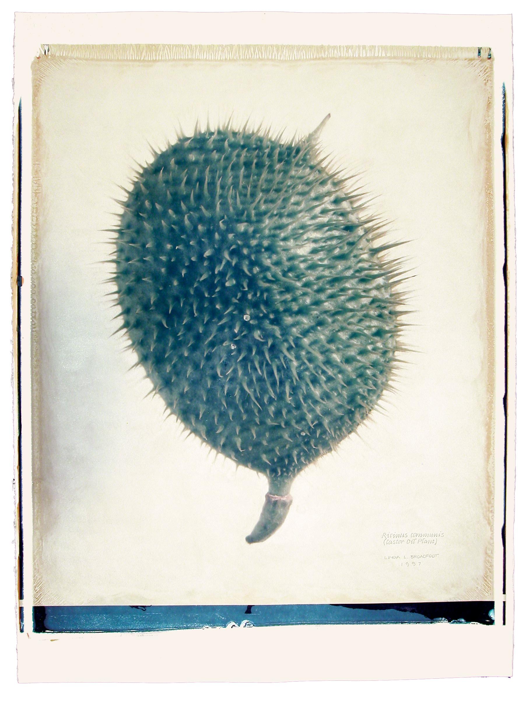 Rincinus communis  (Castor Oil Plant), 1997