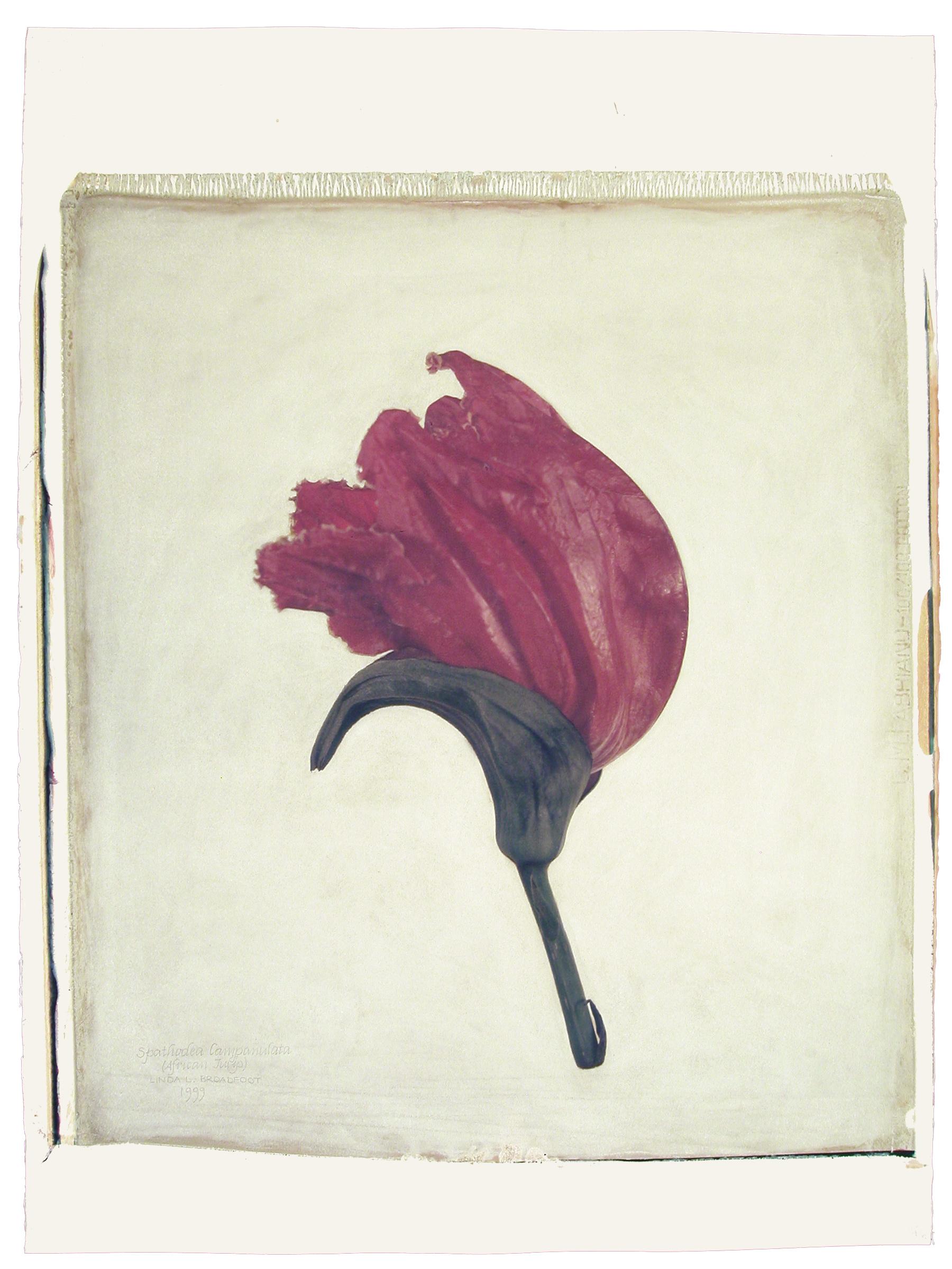 Spathodea campanulata  (African Tulip), 1999