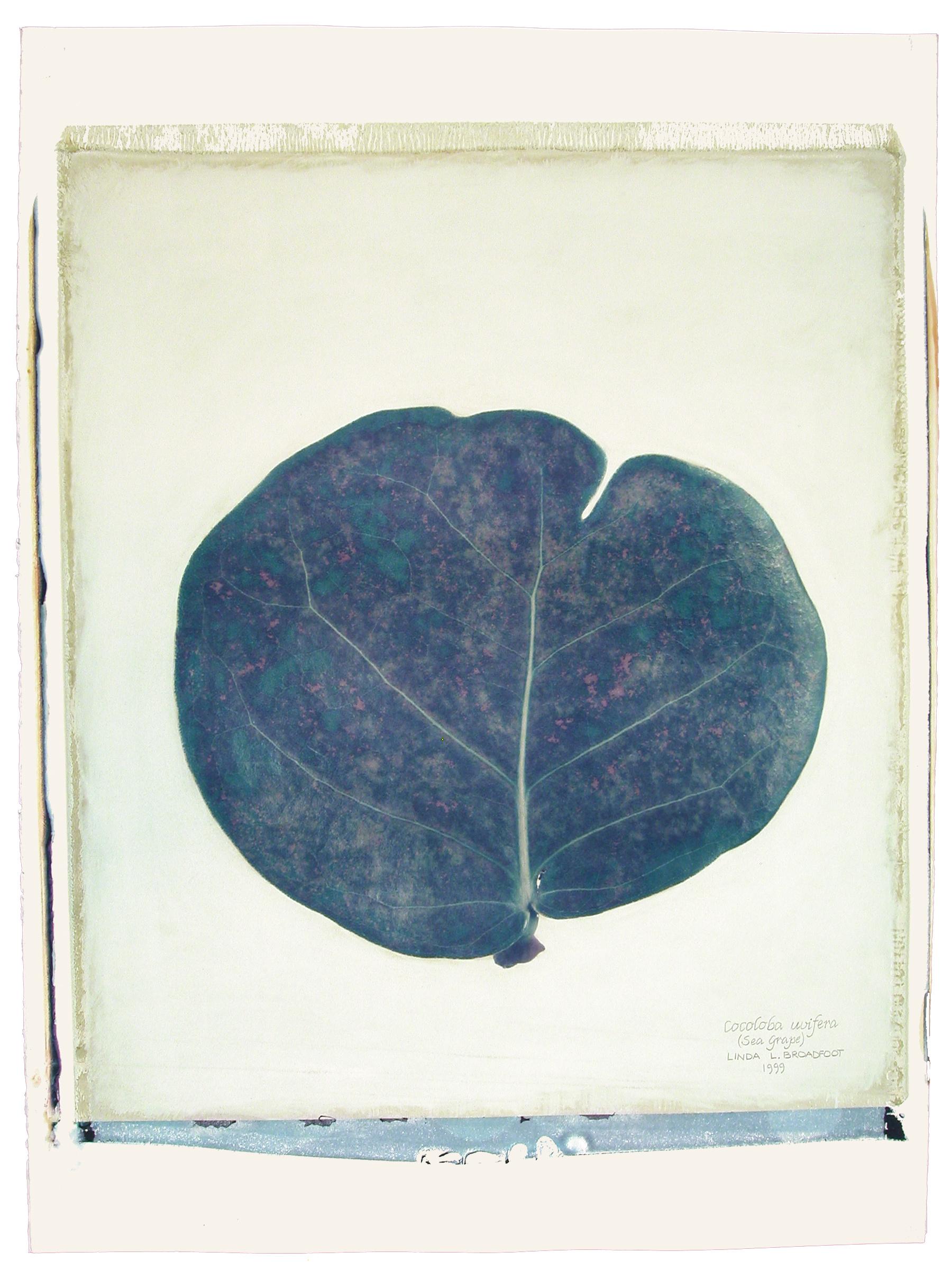 Cocoloba uvifera  (Seagrape Leaf), 1999