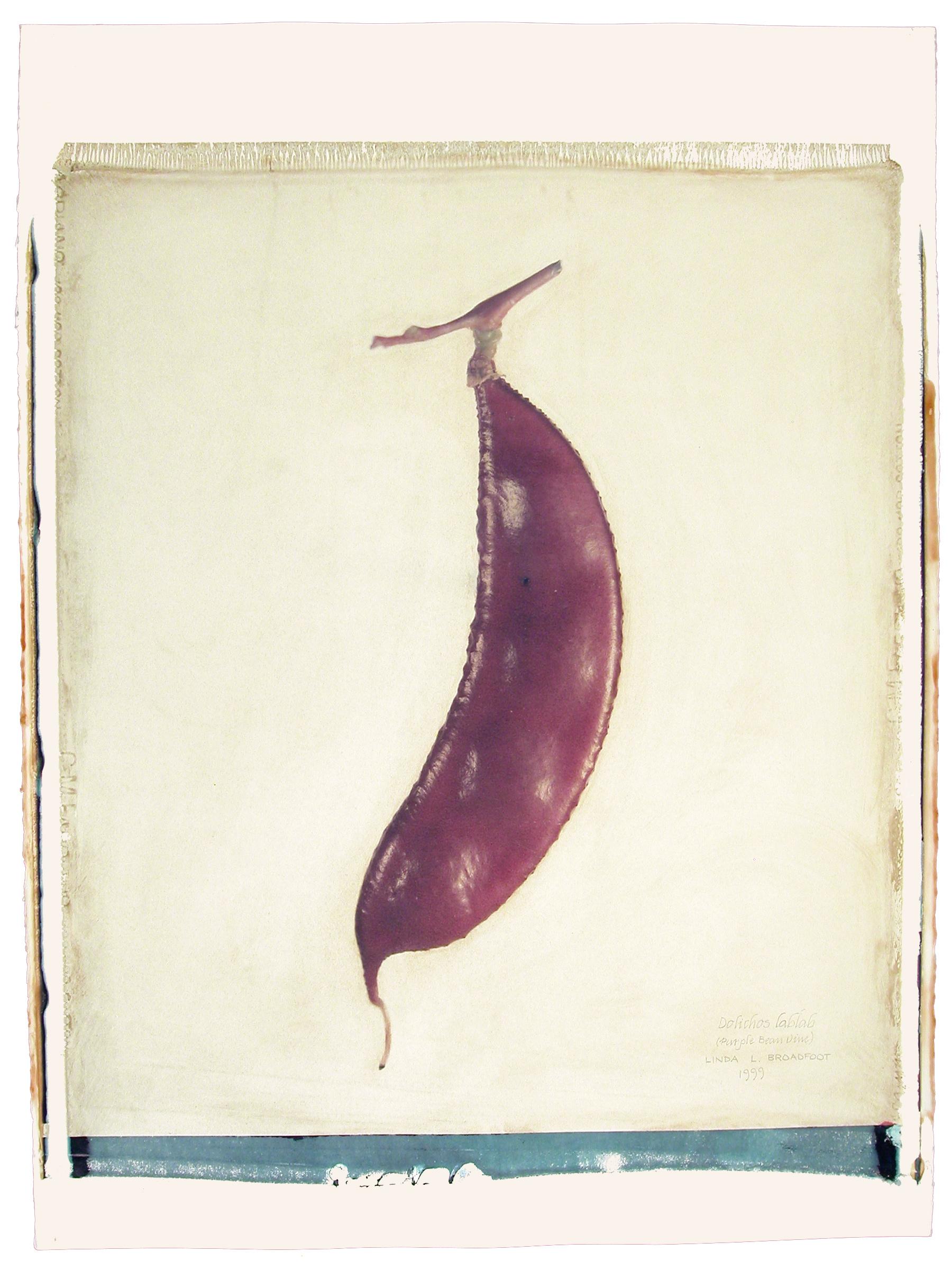 Dolichos lablab  (Purple Bean Vine), 1999