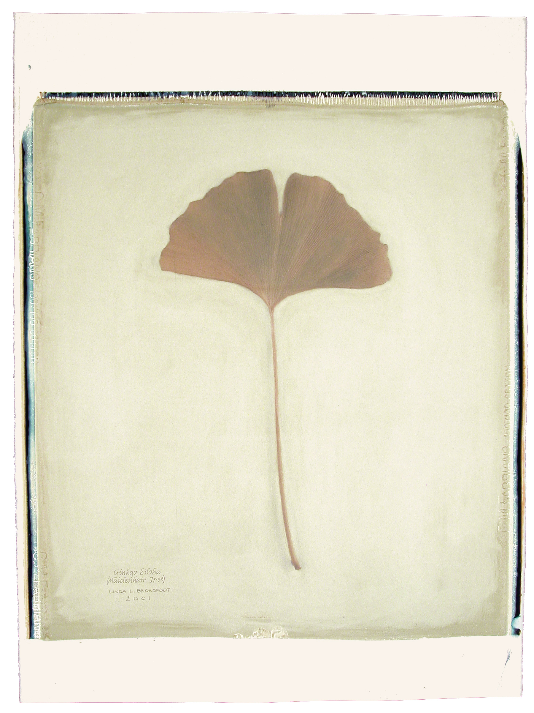 Ginkgo biloba  (Maidenhair Tree), 2001