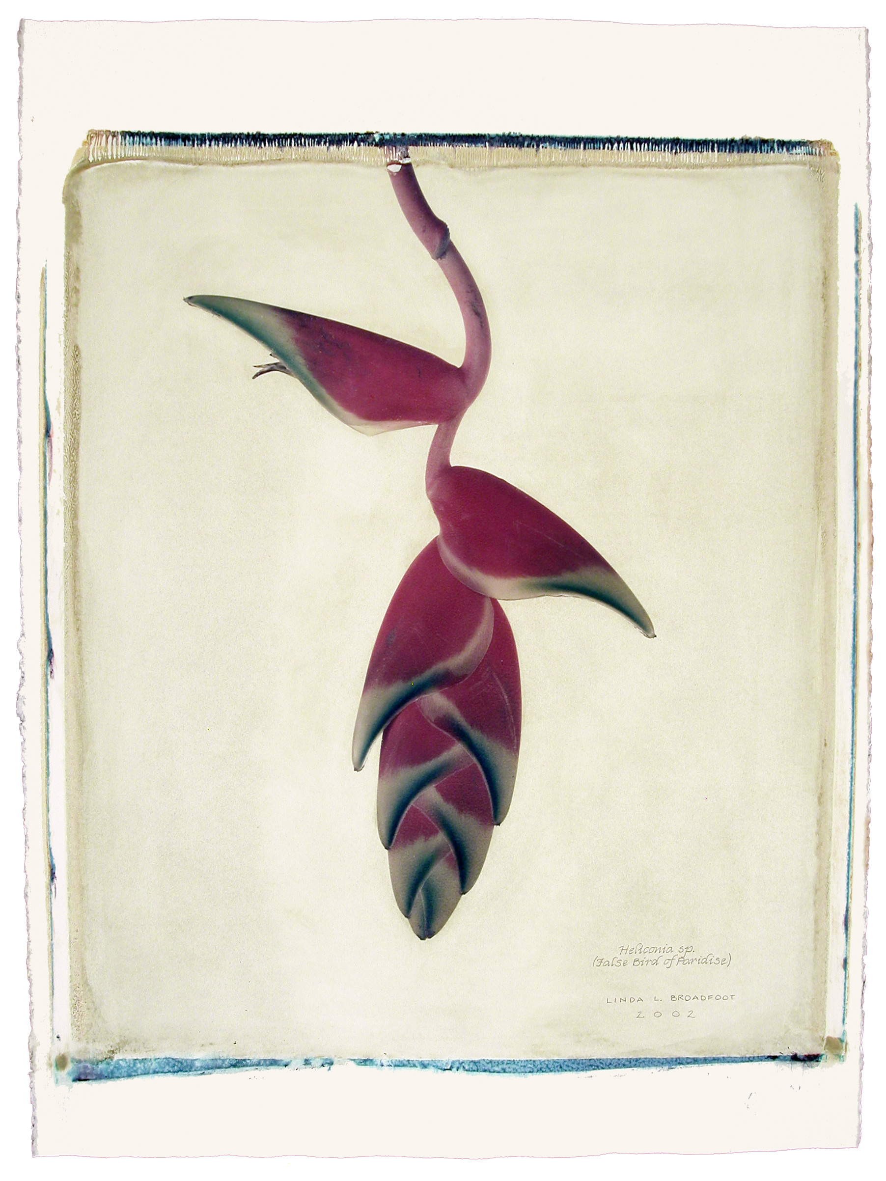 Heliconia sp.  (False Bird of Paradise), 2002