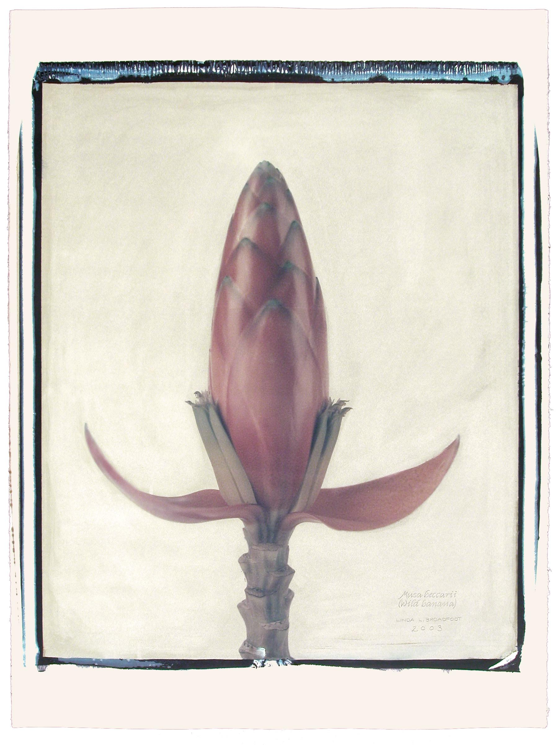 Musa beccarii  (Wild Banana), 2003