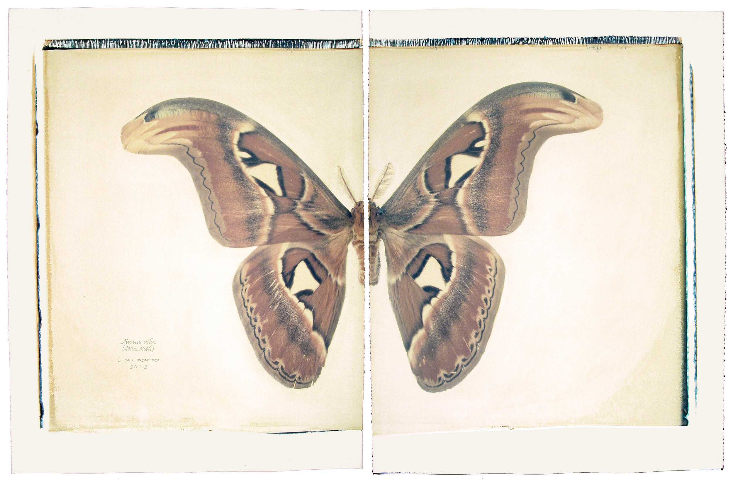 150-Attacus-atlas-final-flat-.jpg