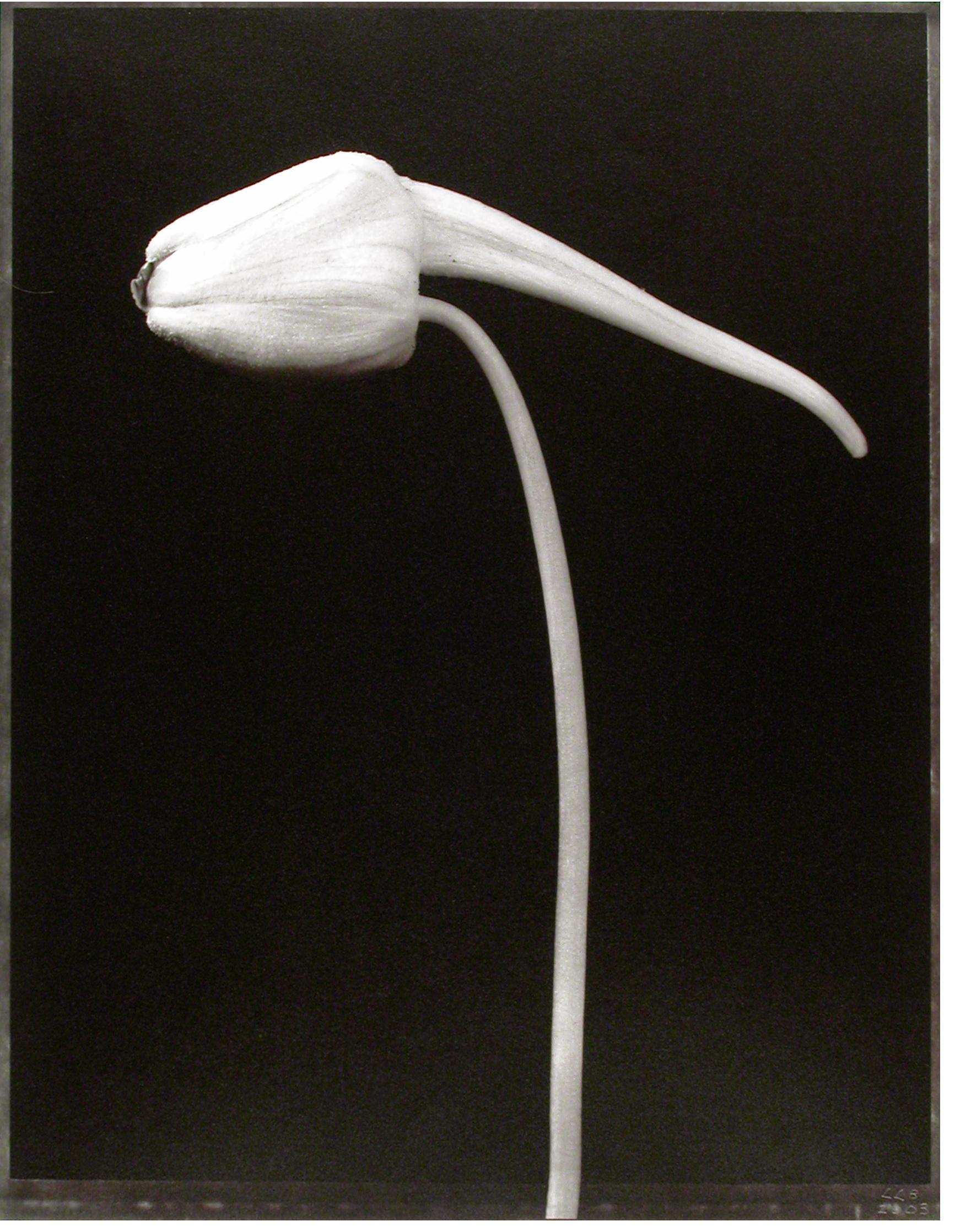 Tropaeolum majus , (Nastertium bud), 2003