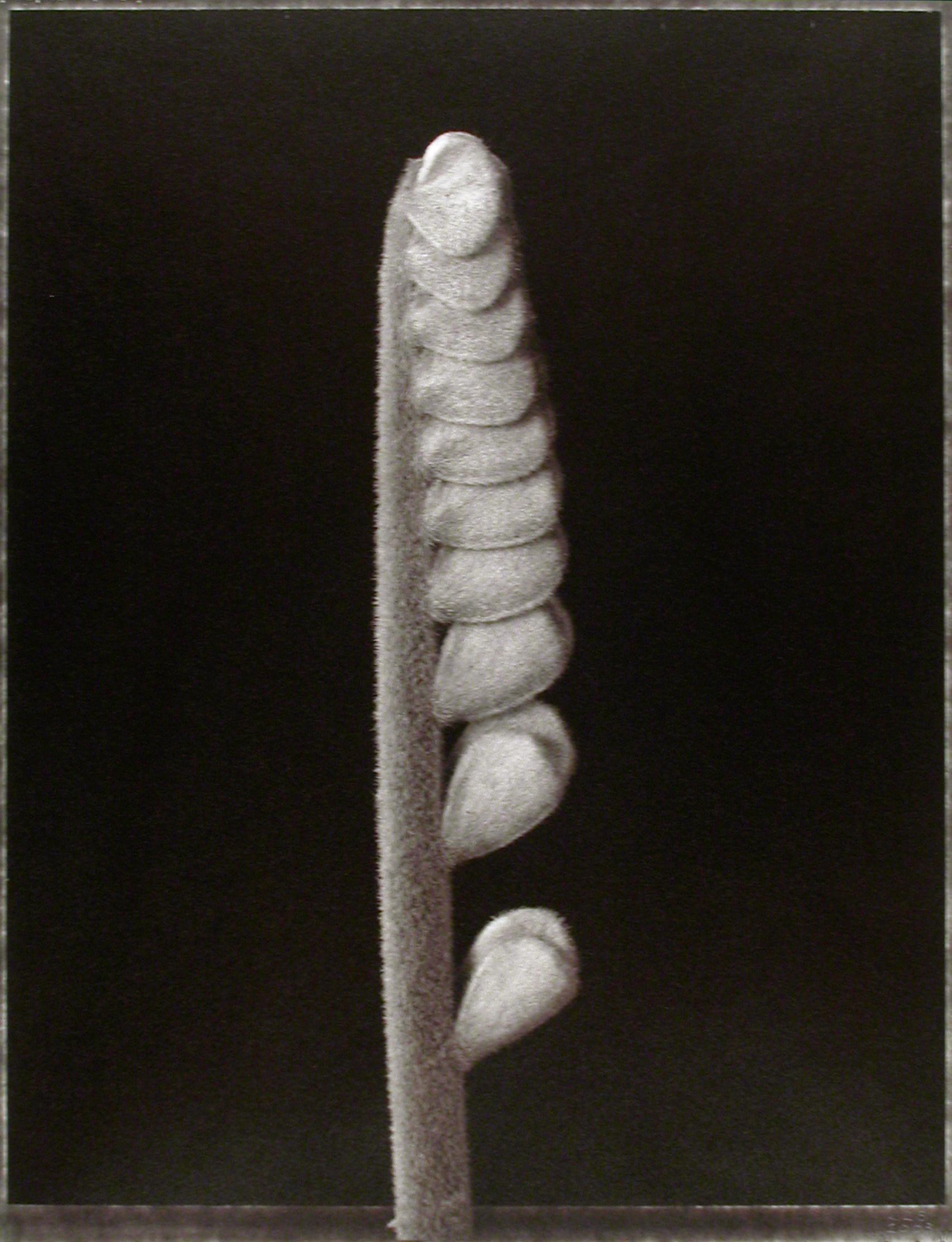 Zamia furfuracea , (Cardboard Palm shoot), 2003