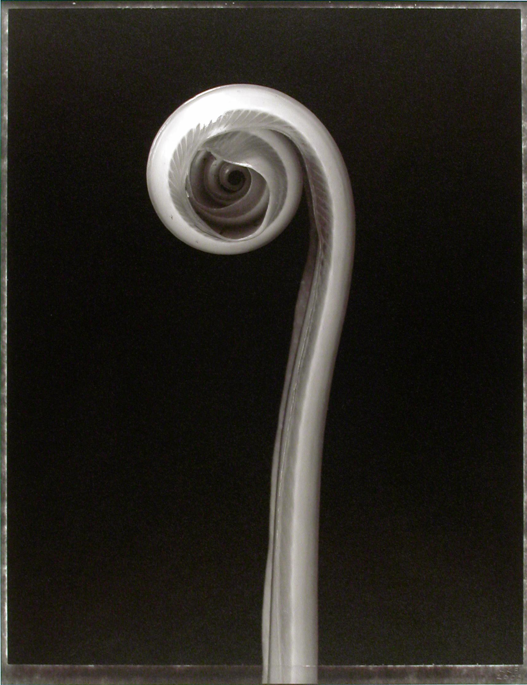 Asplenium nidus,  (Bird's Nest Fern shoot), 2003
