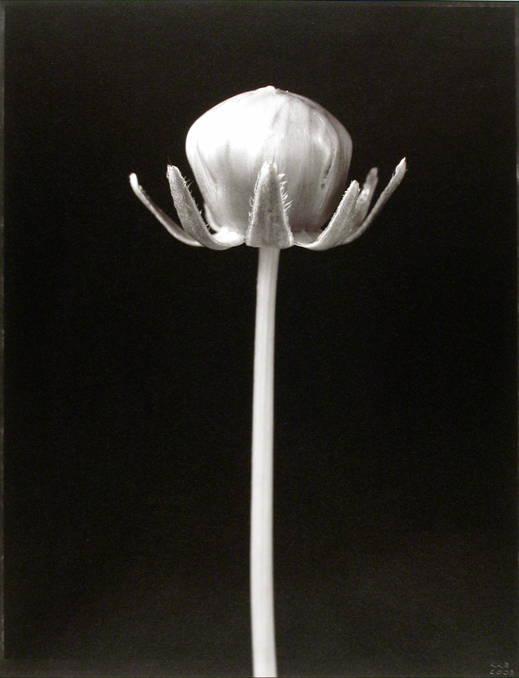 Coreopsis lanceolata , (Coriopsis bud), 2003