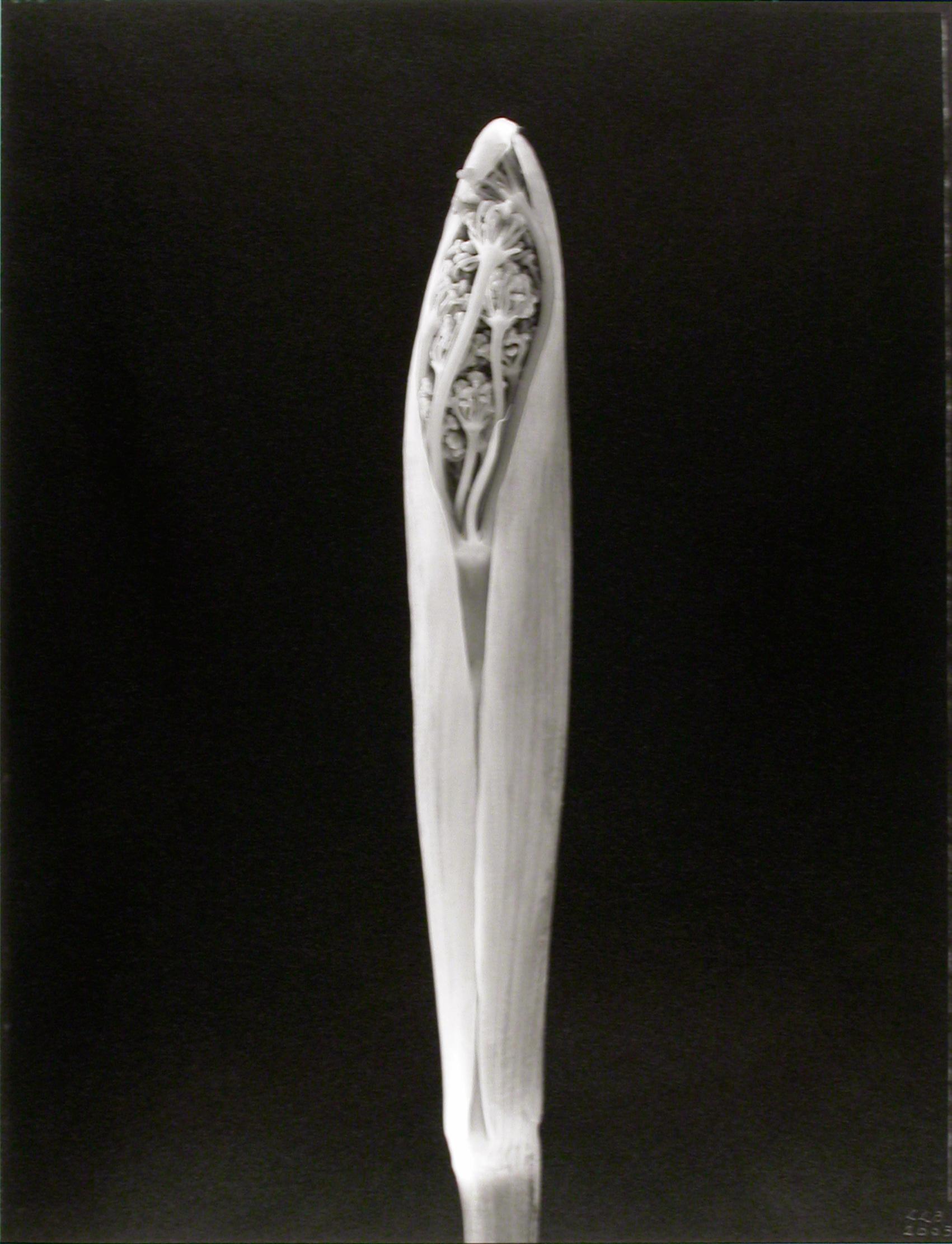 Foeniculum vulgare , (Fennel bud), 2003