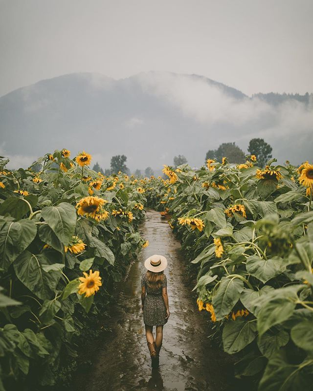 Chilliwack Sunflower Festival, British Columbia 🌻🍁 ⠀⠀⠀⠀⠀⠀⠀⠀⠀ Tired of planning vacations? Our travel bloggers have planned your next one for you! Go check it out! Link in bio 👉 @gohypetravel ⠀⠀⠀⠀⠀⠀⠀⠀⠀ Photo courtesy of @rachelbarkman #gohypetravel #chilliwack #britishcolumbia #beautifulbc #explorebc #hellobc #ilovebc #beautifulbritishcolumbia