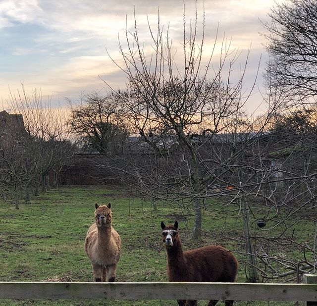 Made some new friends over the holidays #alpaca