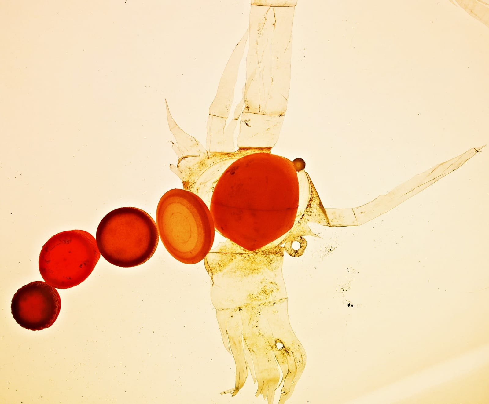 Come and make a planktonic creature like this one, using a lightbox and plastic debris from the banks of The Thames………