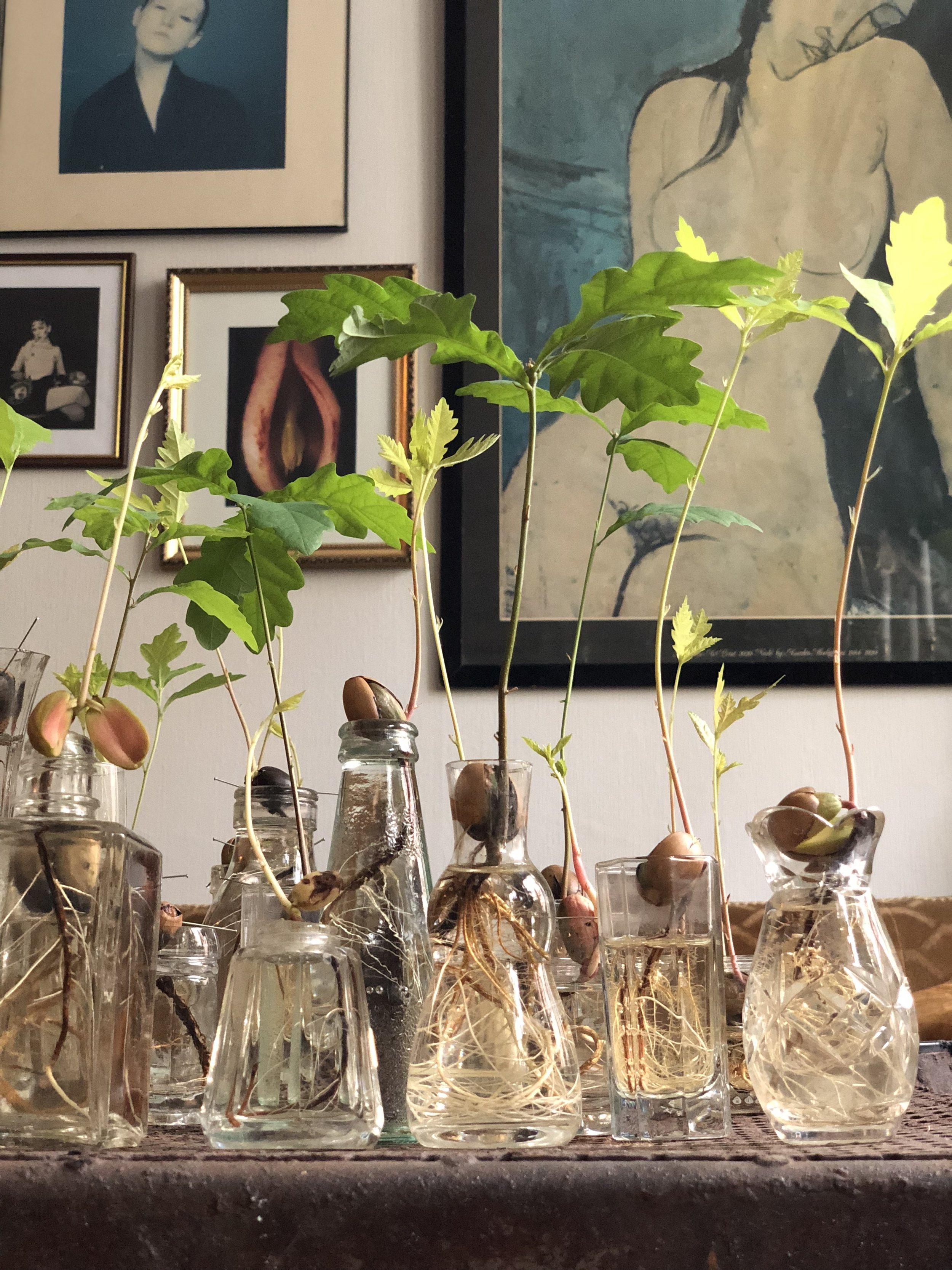 My acorn seedling collection. Malmö 2018