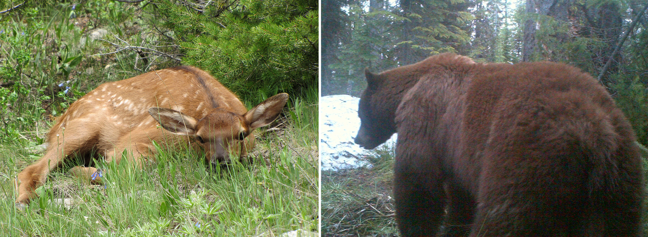 LEFT:  Mortality among elk calves, regardless of cause, occurs during the first few weeks of life. This is the time when the elk calves are most vulnerable to predation by bears.  RIGHT:  While bear hunting in most areas of Western Montana you must be able to distinguish color-phase black bears from the grizzly bears who occupy the same habitat areas.