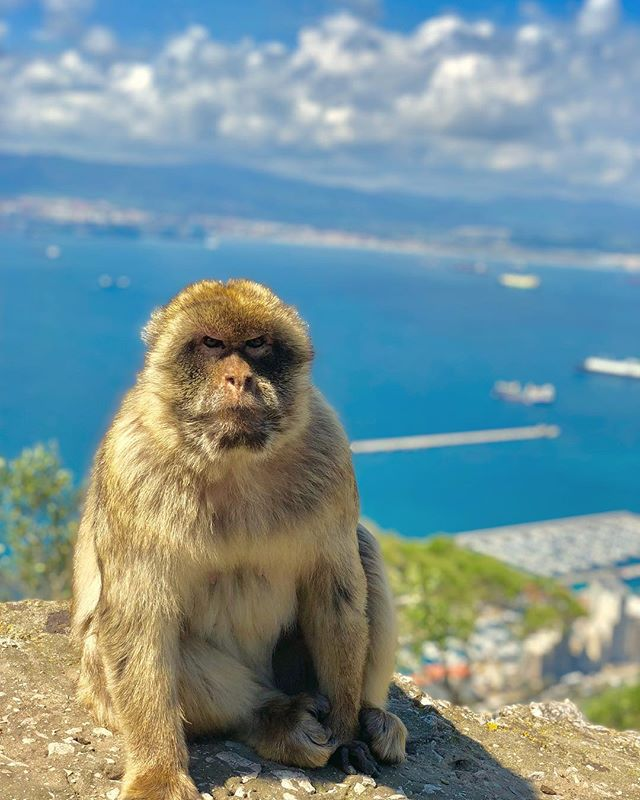 Quick trip to Gibraltar 🇬🇮 got us in the mood for summer ☀️ . . . #travelgram #instatravel #gibraltar #monkey #wildlifephotography #wildlife #uk #british #spain #sun #summer #trip #holiday #summerholiday #vacation #vacay #sea #view #travelphotography #nature #animals #travel #travellife #grumpy #environment #smallbusiness #fashion #sustainablefashion #sustainability