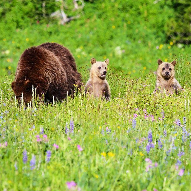 Some of the animals we saw in the extraordinary Yellowstone 🌄 💛🌲 #yellowstonenationalpark #tetonsnationalpark #grizzlybear