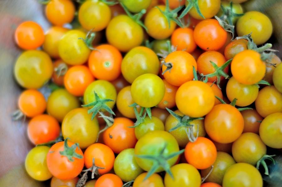 Small organic yellow and orange cherry tomatoes.