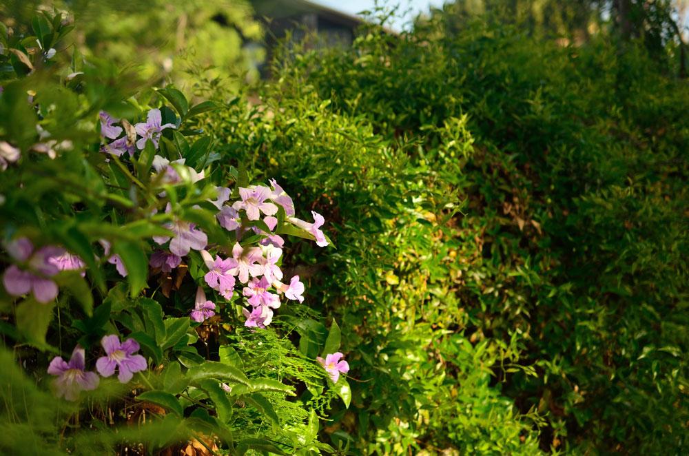 Beautiful Trumpet Flowers in Parkway's Garden.
