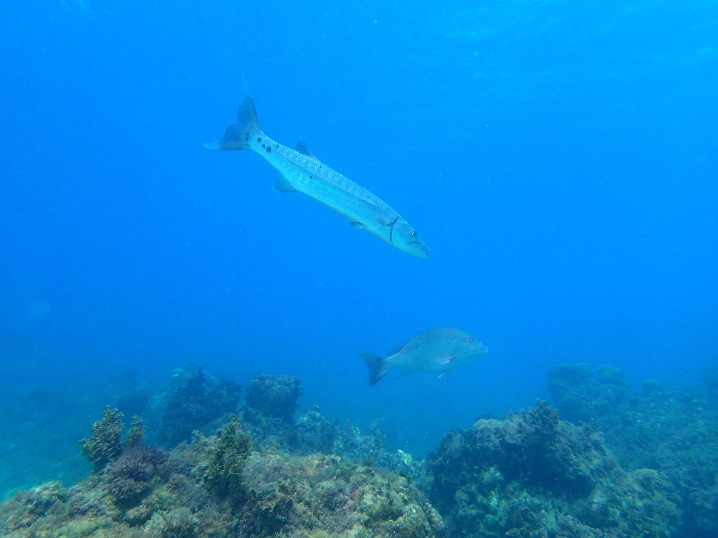 Mature fish at coral nursery array, Oracabessa Bay Fish Sanctuary