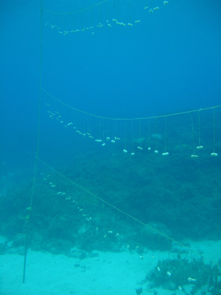High-production nursery culture of Staghorn ( Acropora cervicornis ): a new nursery.
