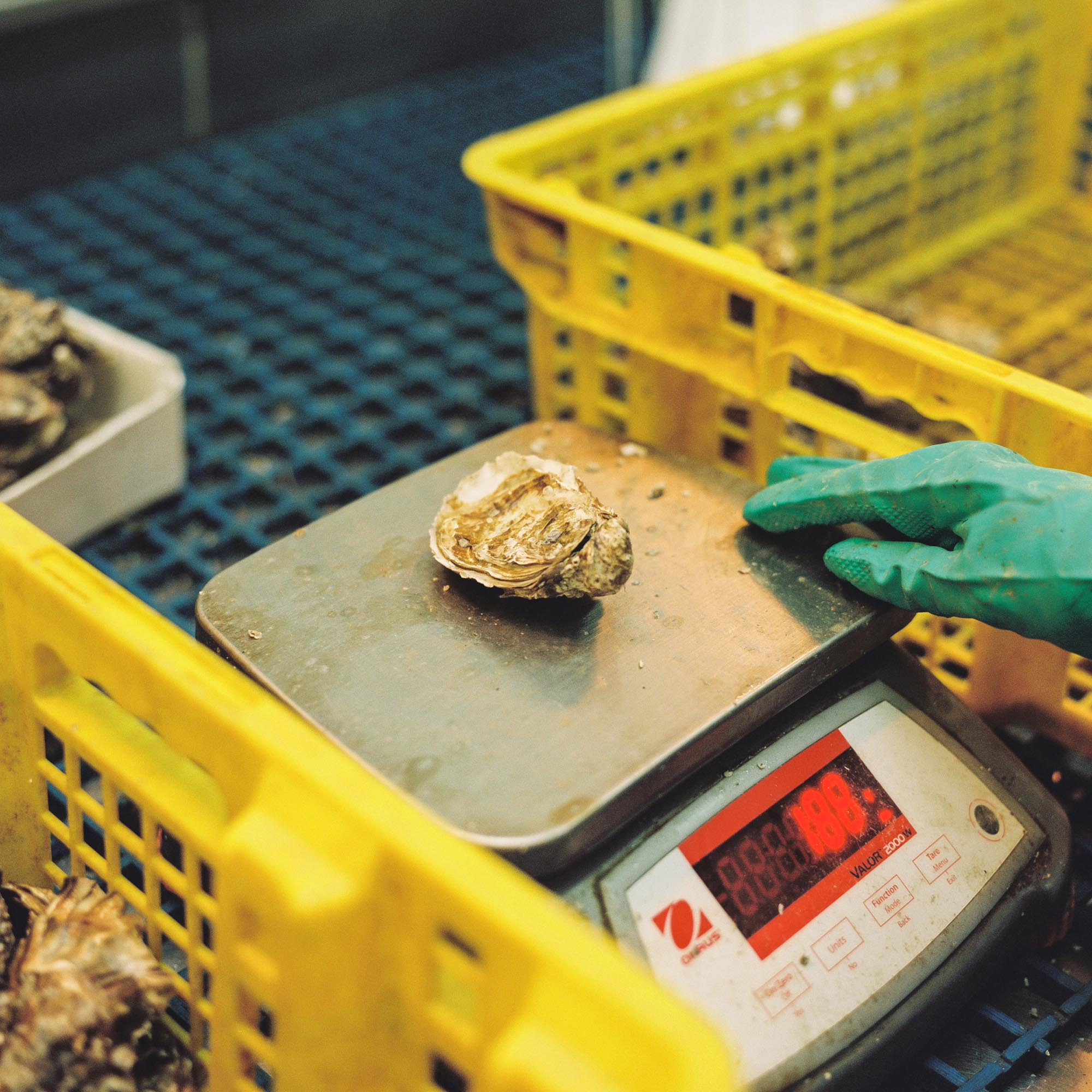 An oyster is weighed at Carlingford Oyster Company