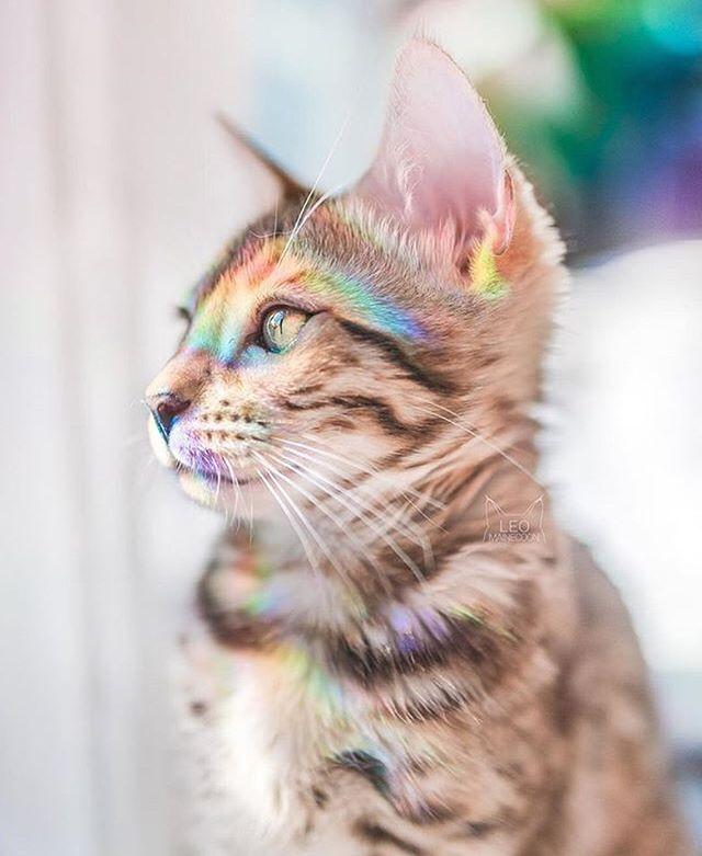 Happy Pride, beautiful beings! 🌈🌈🌈 via: @leo.mainecoon