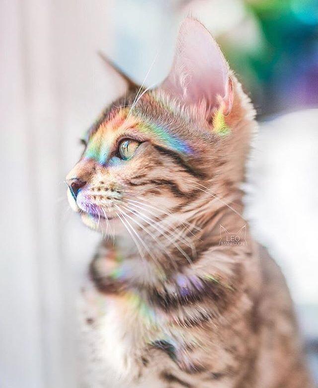 Happy Pride, beautiful beings! 🌈🌈🌈 via: @leo.mainecoon