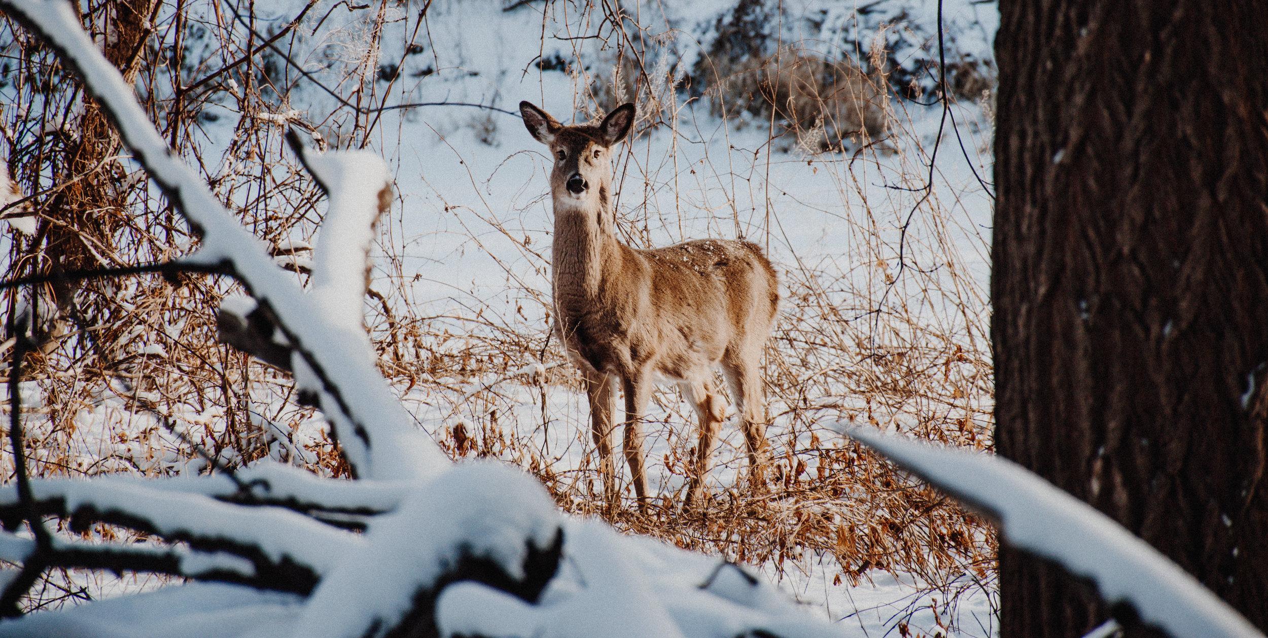 Deer2-0062.jpg