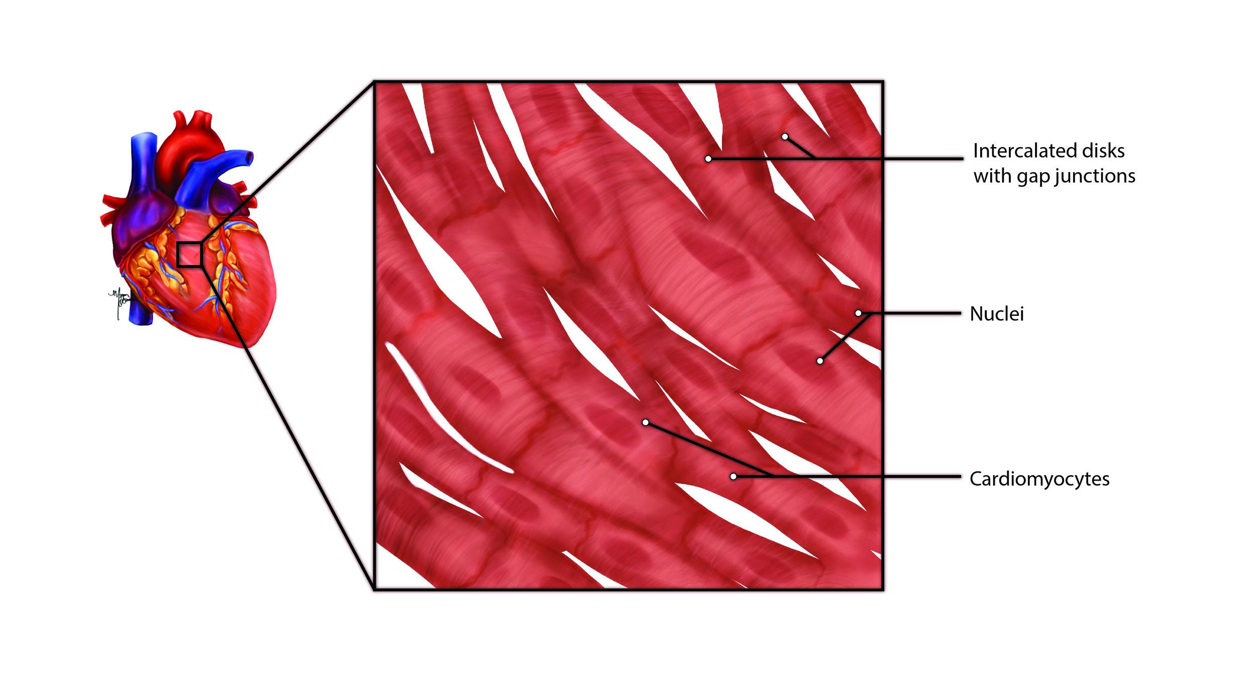 Cardiomyocytes - Learn More