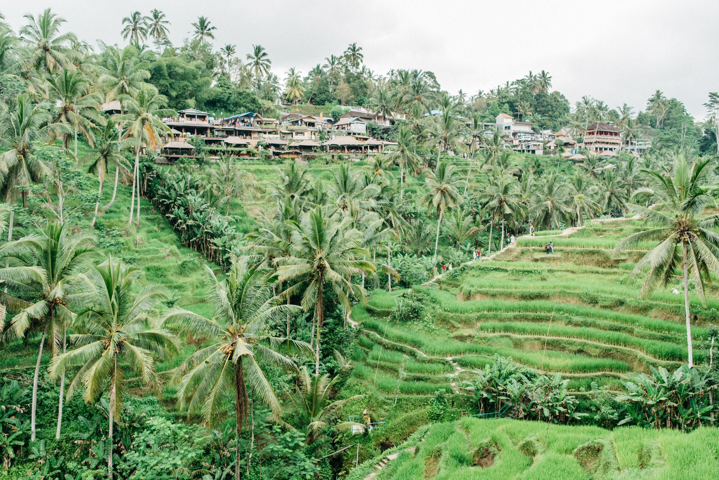 Rice Paddies & Coconut Trees - Tegalalang Rice Terrace, Bali