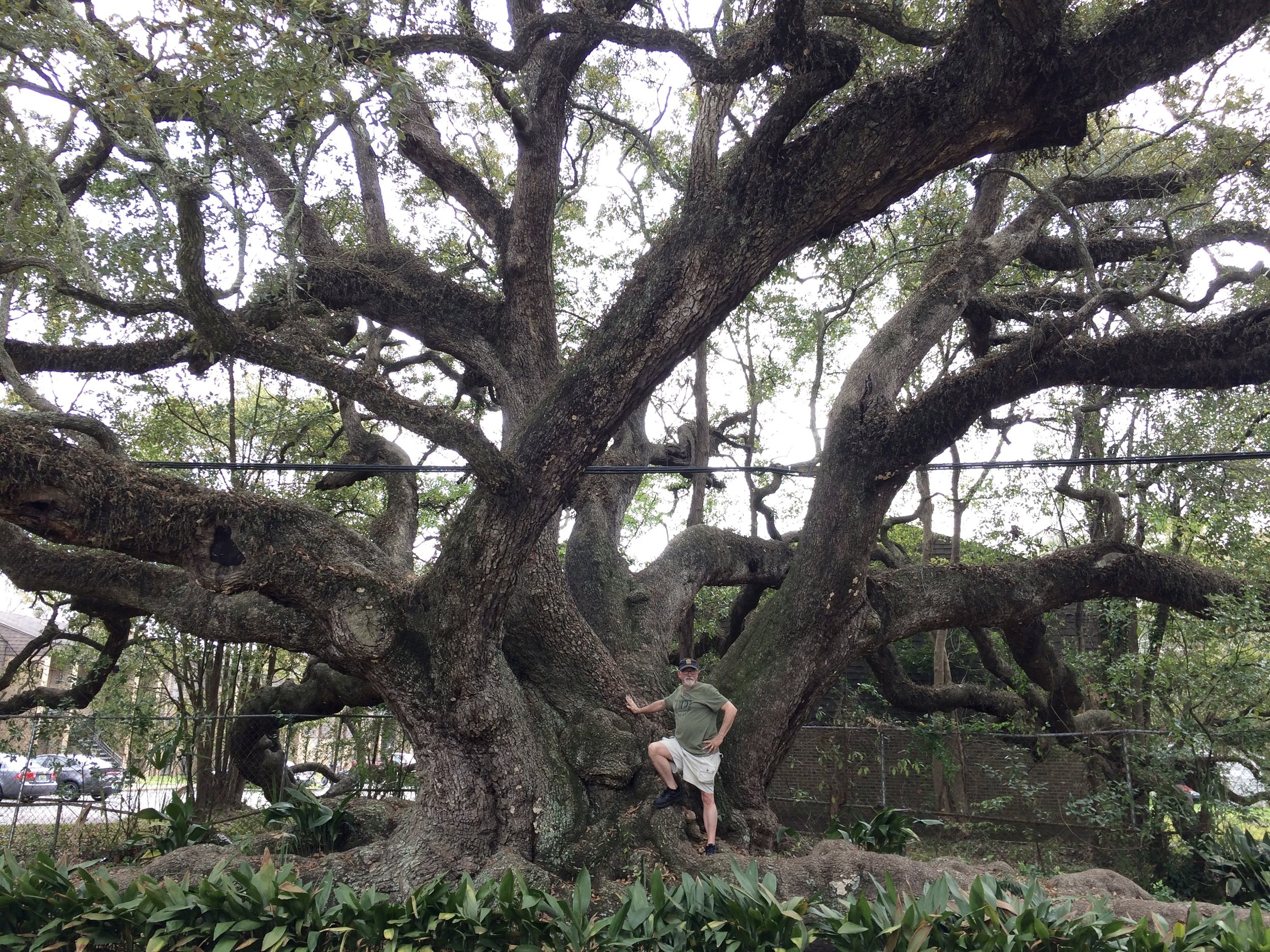 That's me, putting the Duffie Oak in perspective.