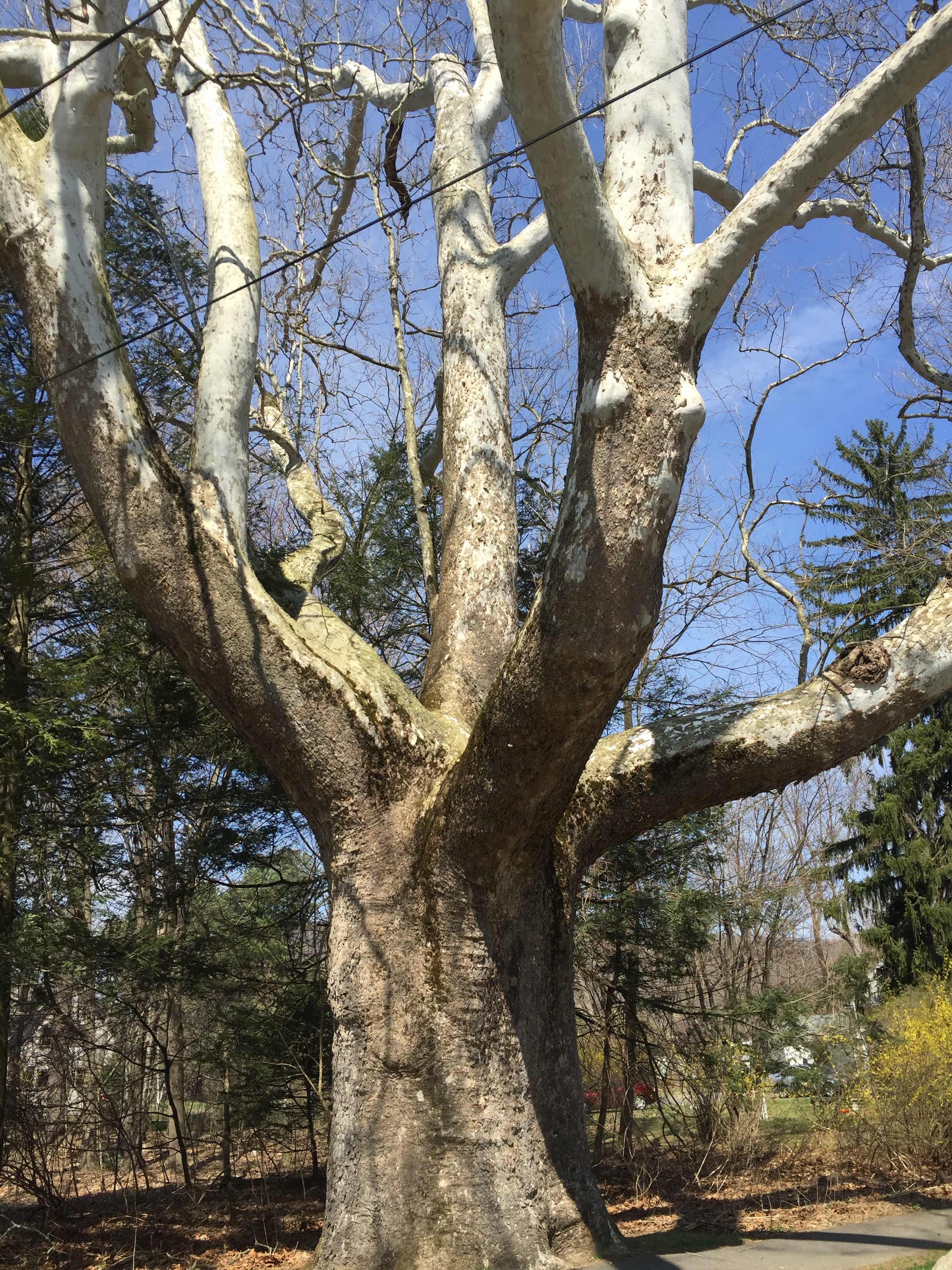 "A sycamore on Main Street in Sunderland, Mass., deemed a ""Significant Tree."""