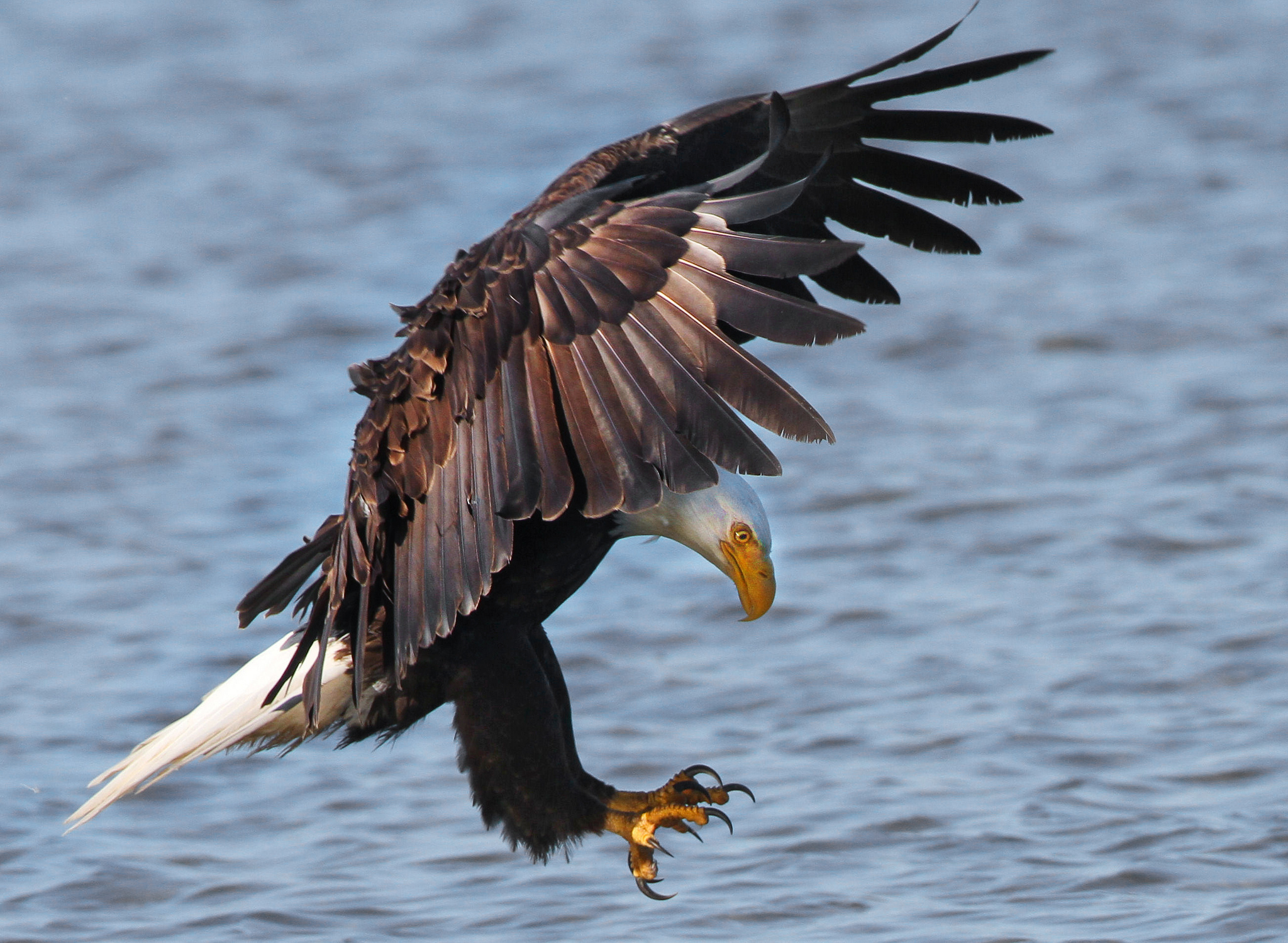 A bald eagle on the hunt. Nigel/Flickr through Community Commons.