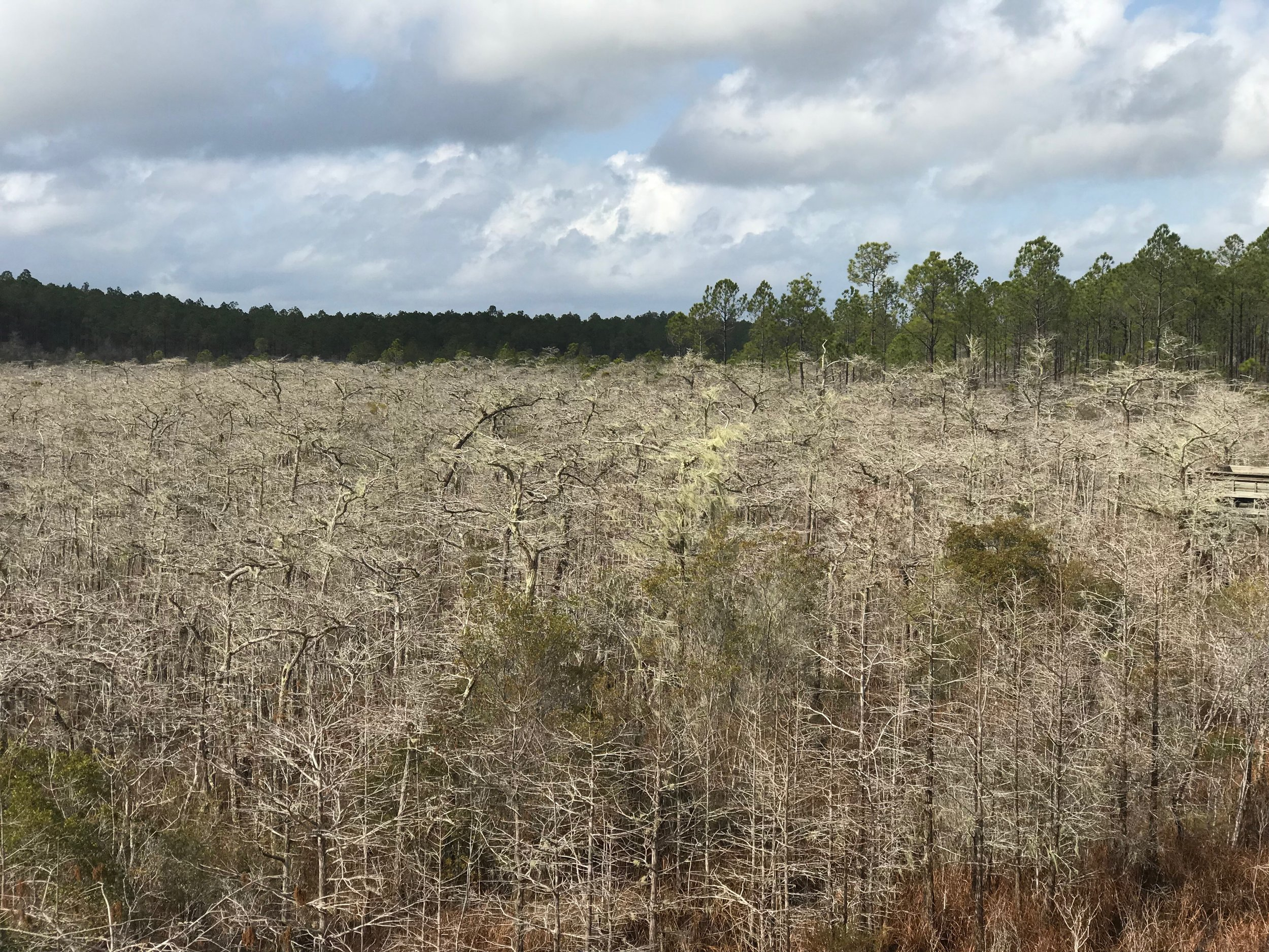 A forest of dwarf cypress trees, some thought to be 300 years old, in Tate's Hell State Forest.