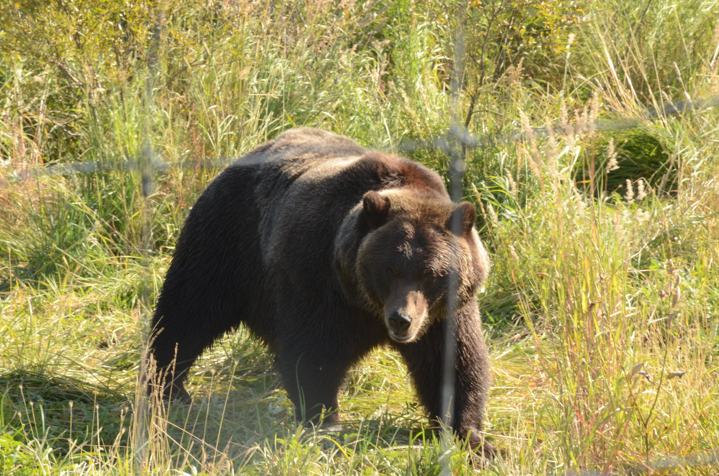 I didn't find this grizzly in the wild, but in a wildlife sanctuary.