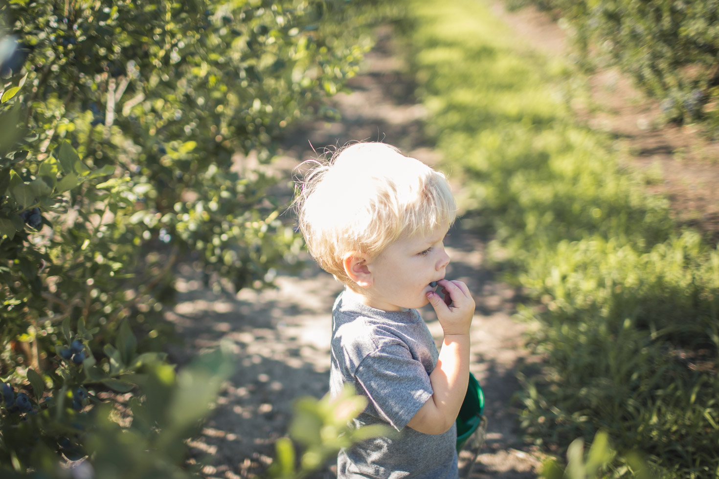 Toddler boy eating blueberry on blueberry farm in the morning light
