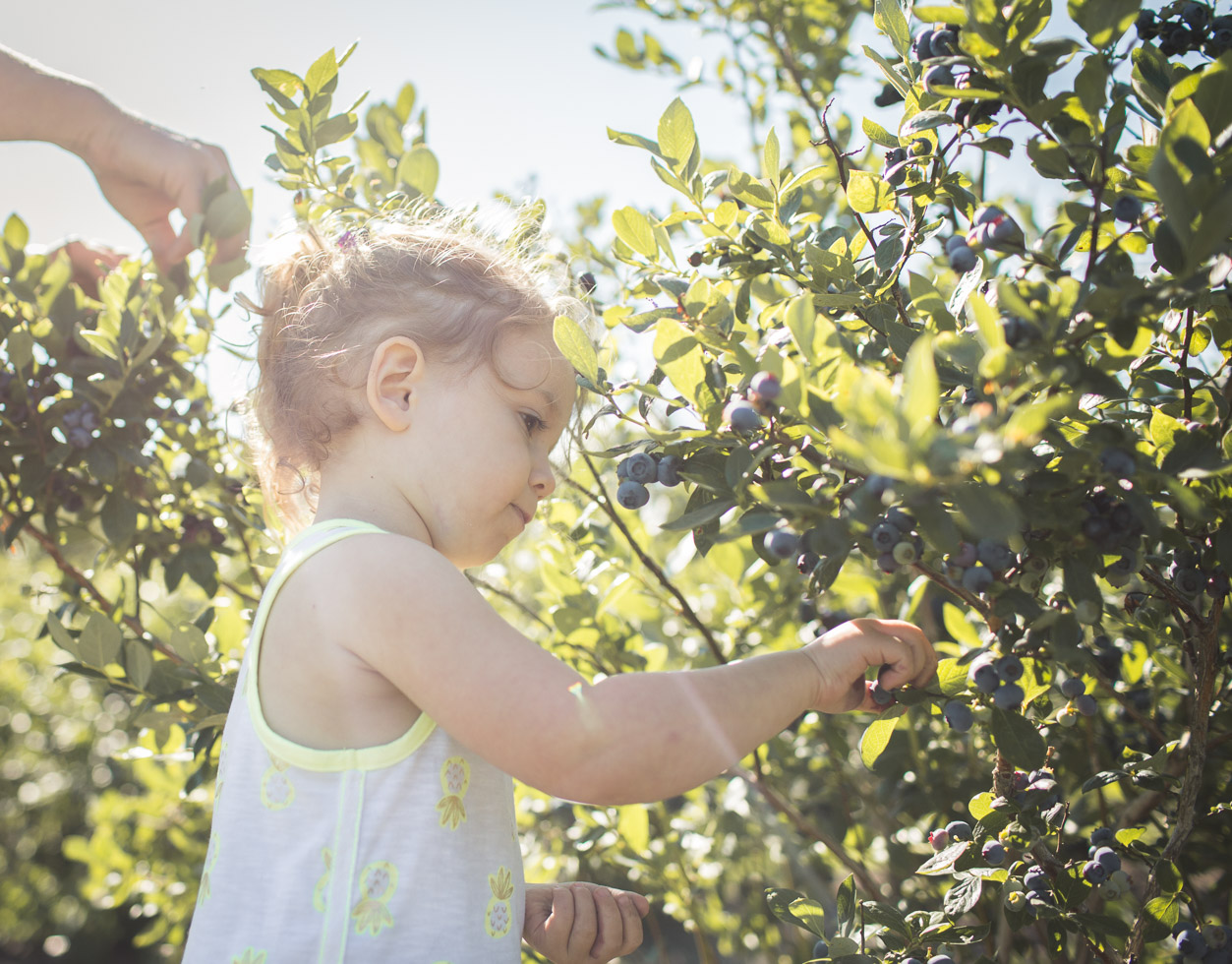 toddler girl picking blueberries in the morning light; backlight
